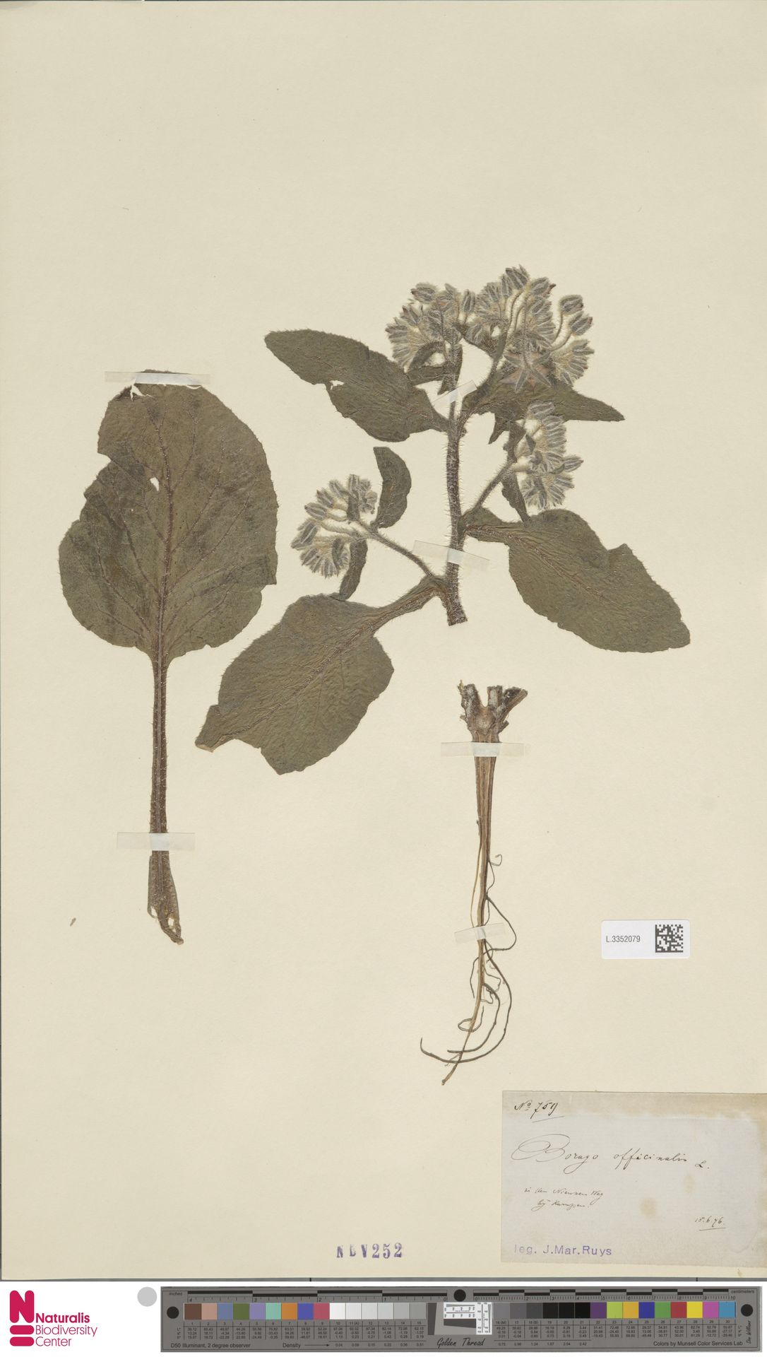 L.3352079 | Borago officinalis L.