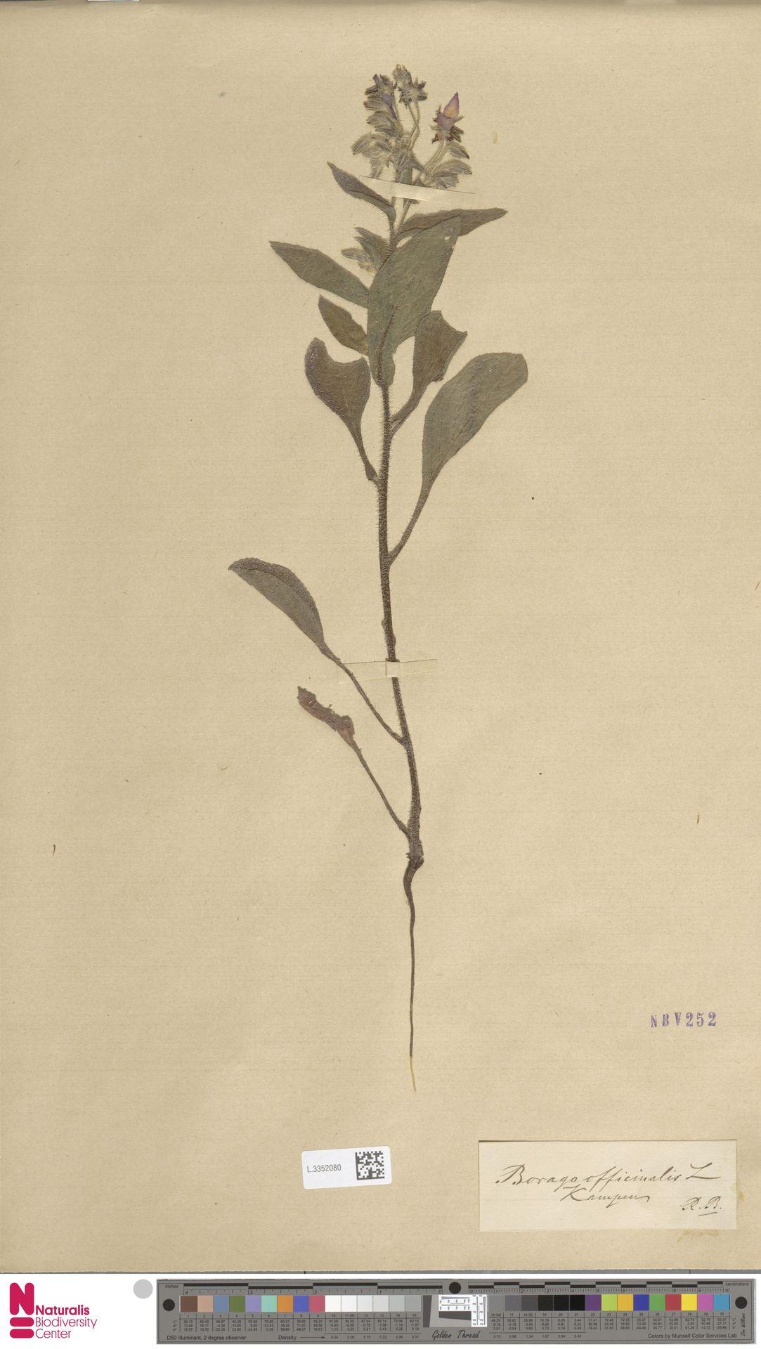 L.3352080 | Borago officinalis L.