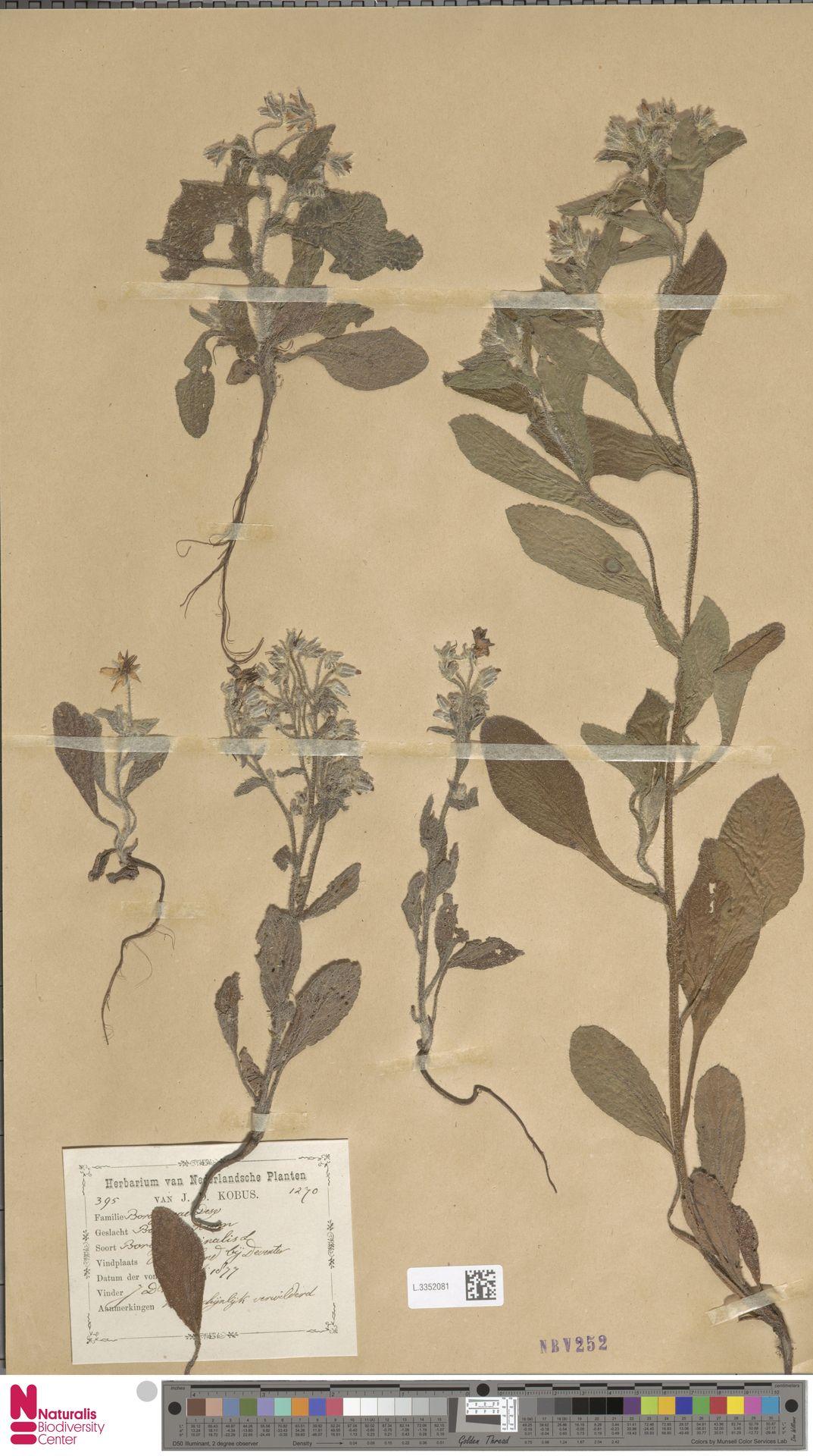 L.3352081 | Borago officinalis L.