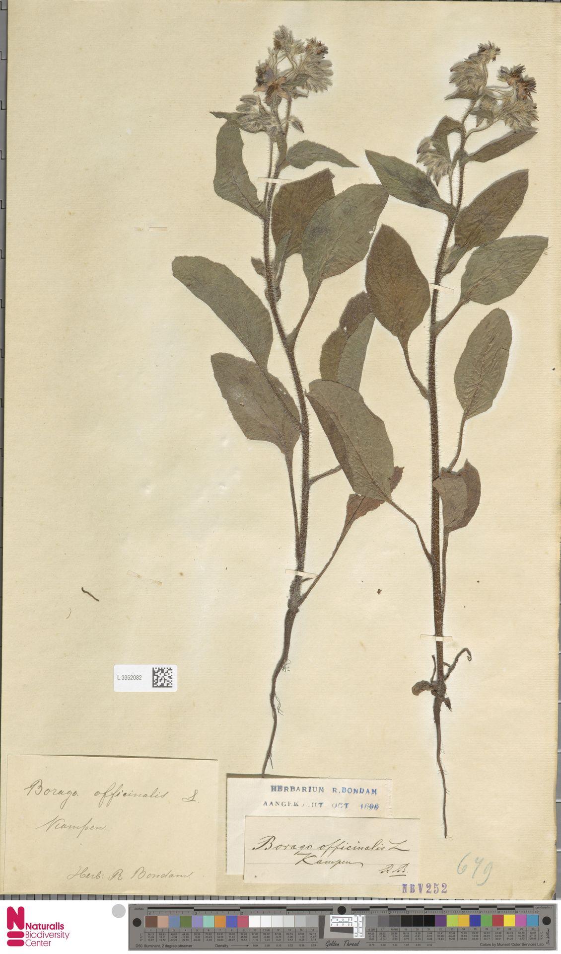 L.3352082 | Borago officinalis L.