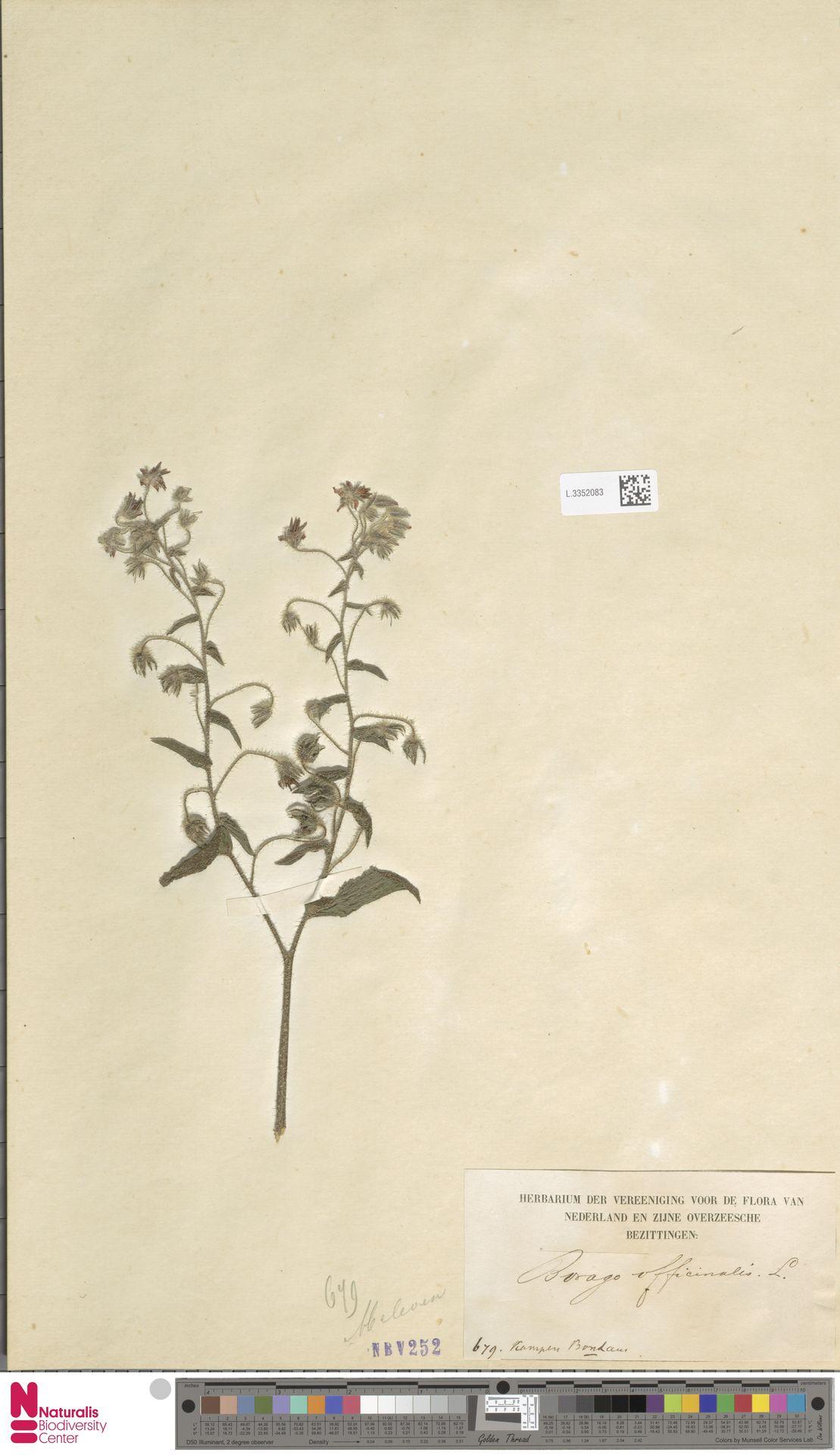 L.3352083 | Borago officinalis L.