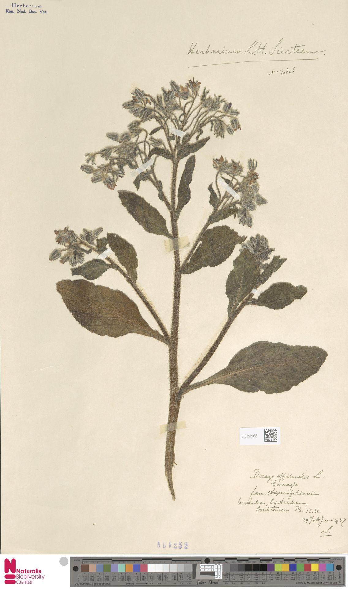 L.3352086 | Borago officinalis L.