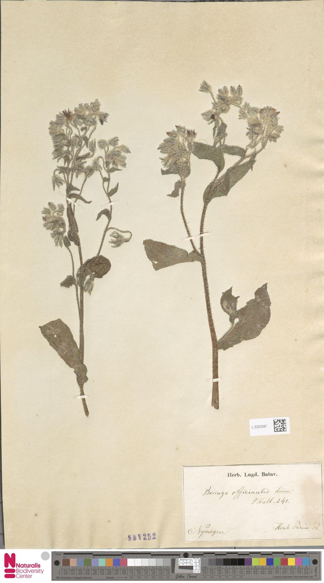 L.3352087   Borago officinalis L.