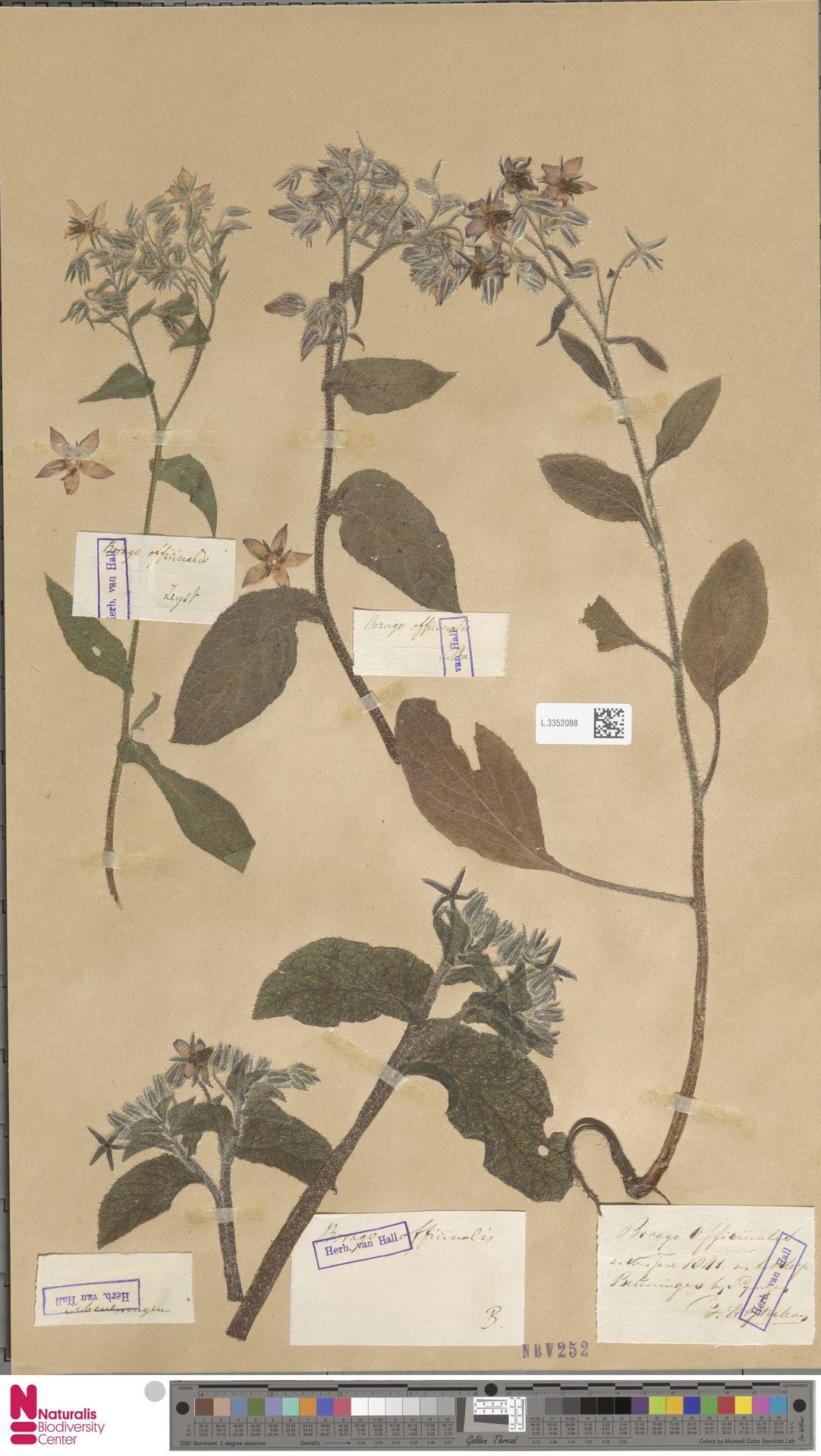 L.3352088 | Borago officinalis L.