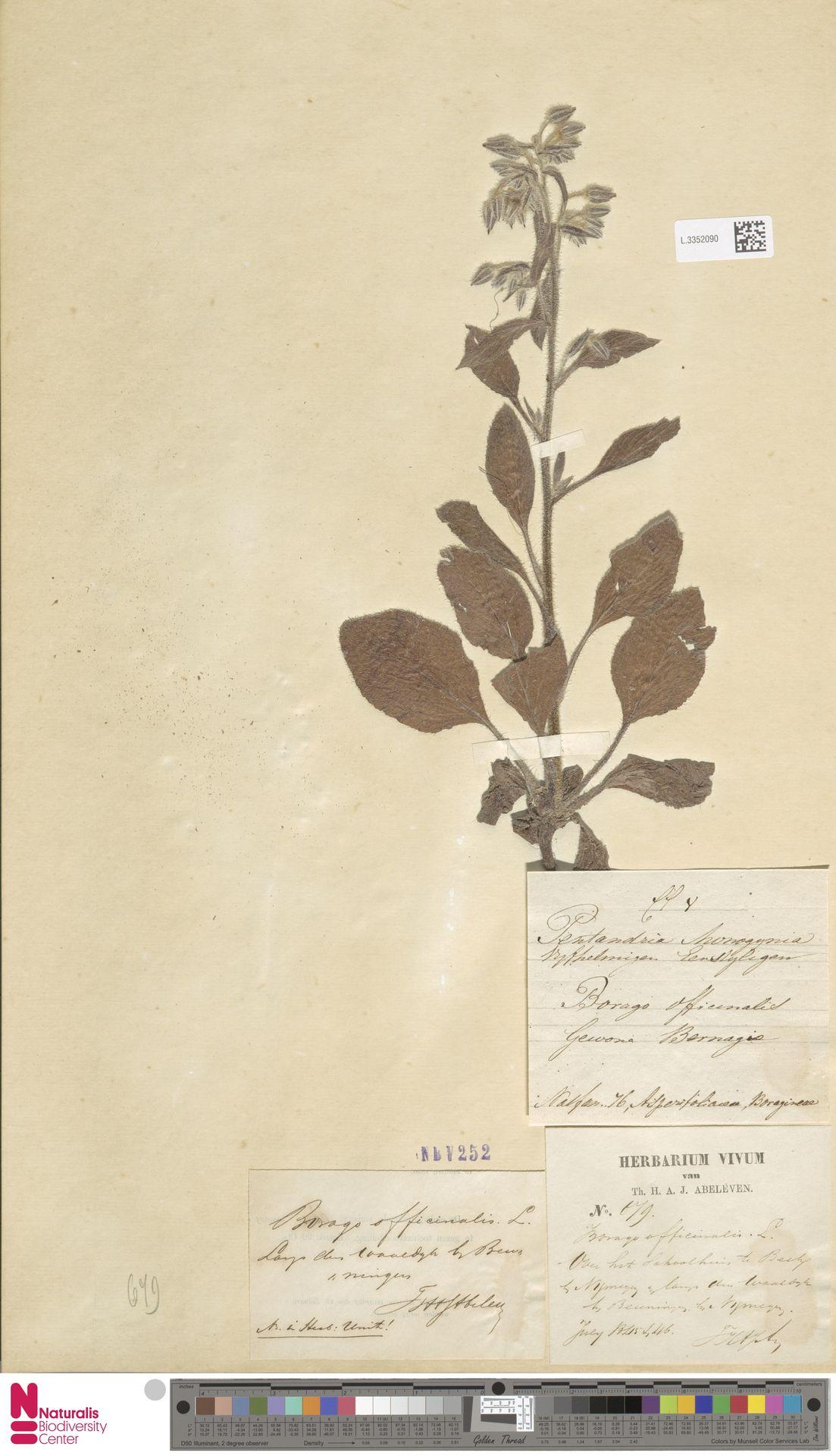 L.3352090 | Borago officinalis L.