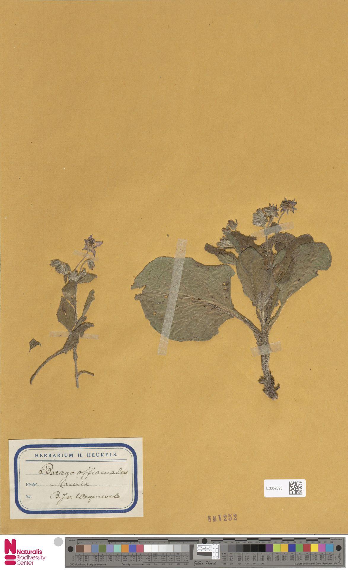 L.3352093 | Borago officinalis L.