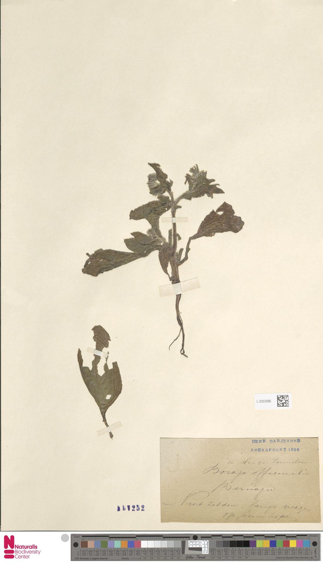 L.3352096 | Borago officinalis L.