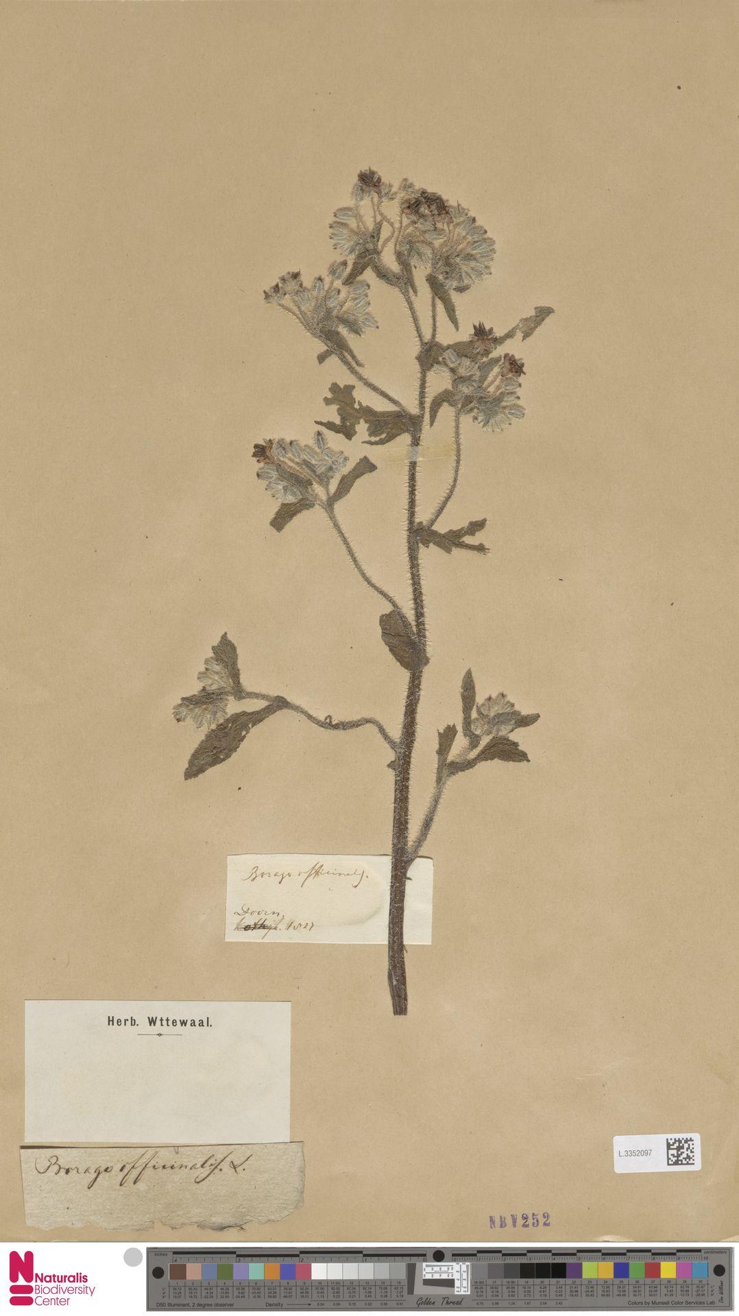 L.3352097 | Borago officinalis L.
