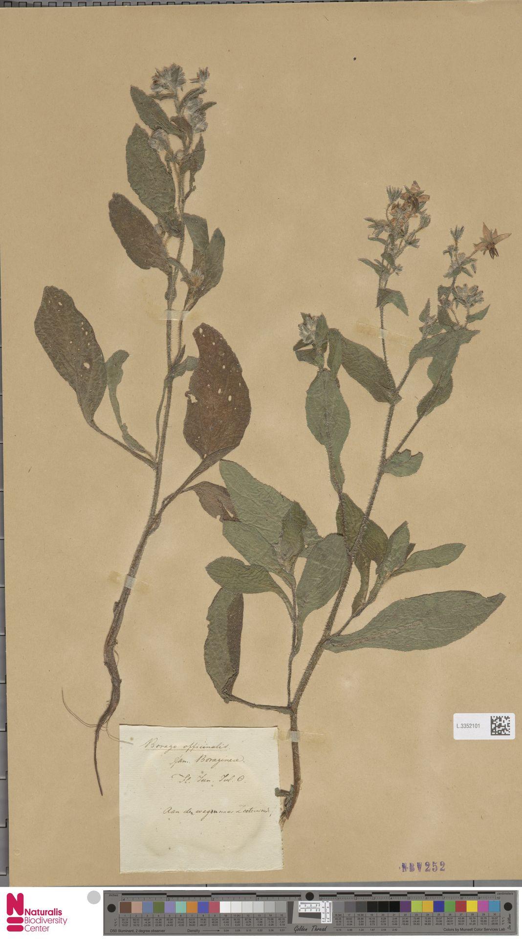 L.3352101 | Borago officinalis L.