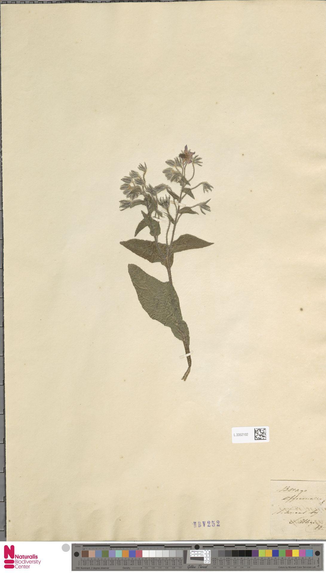L.3352102 | Borago officinalis L.