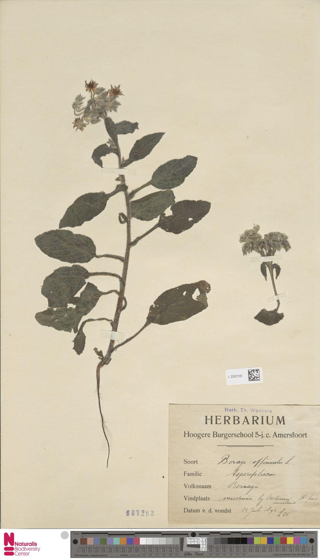 L.3352105 | Borago officinalis L.