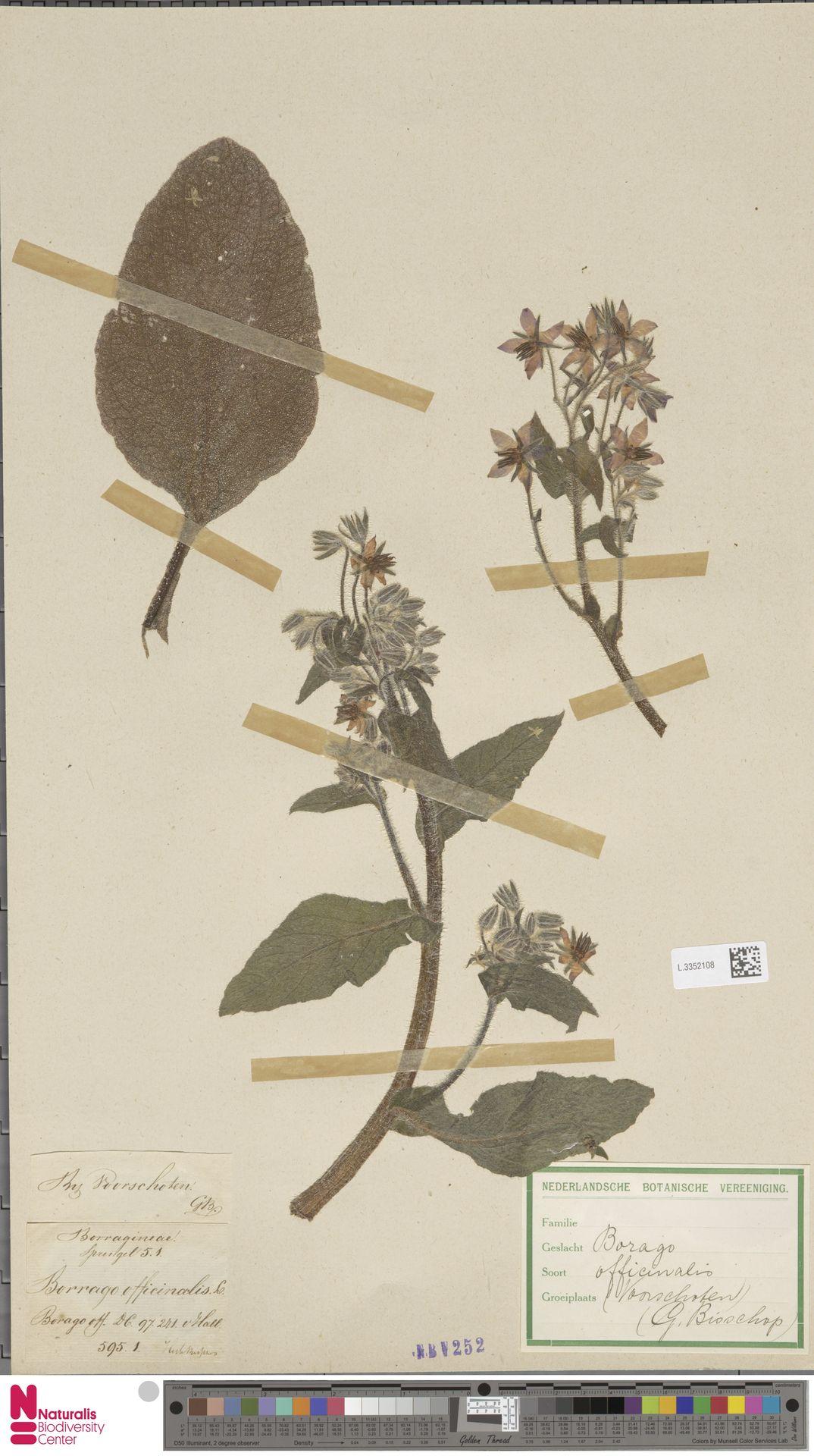 L.3352108 | Borago officinalis L.