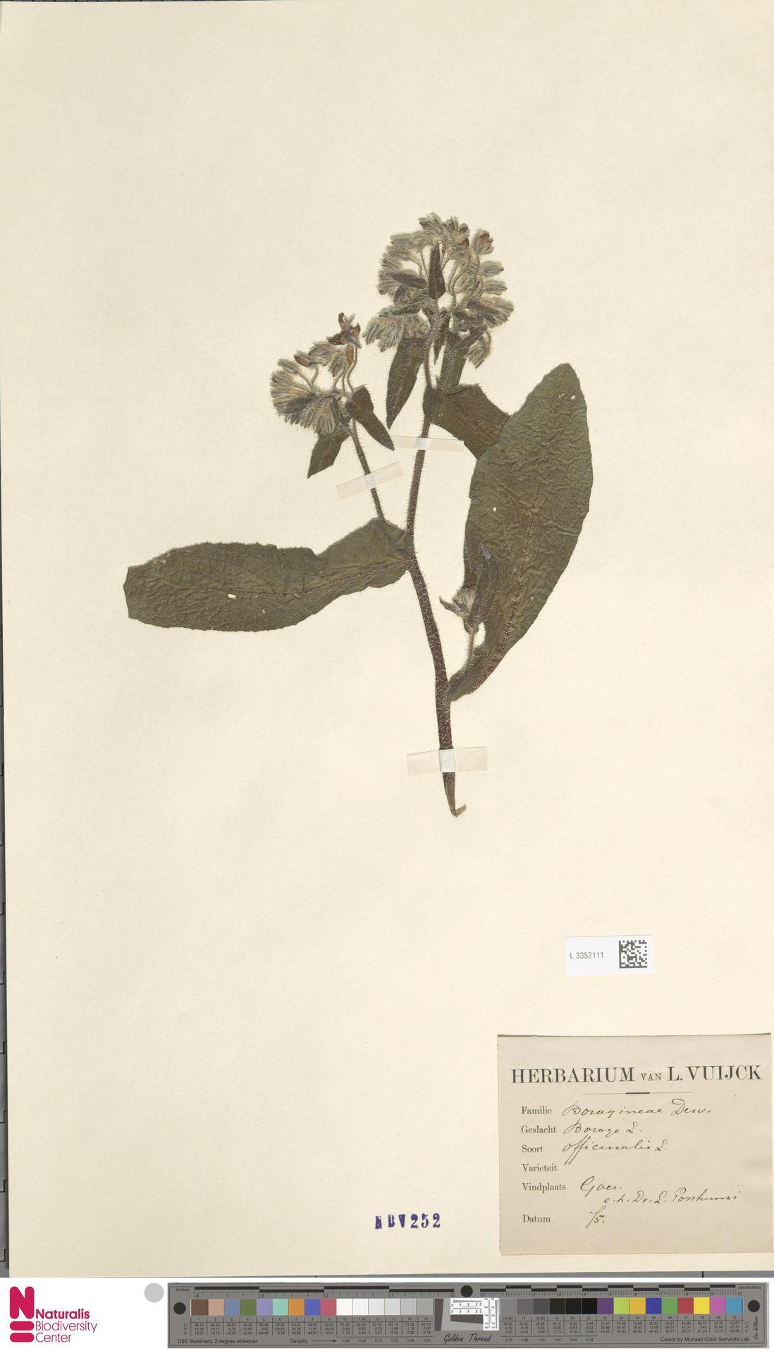 L.3352111   Borago officinalis L.