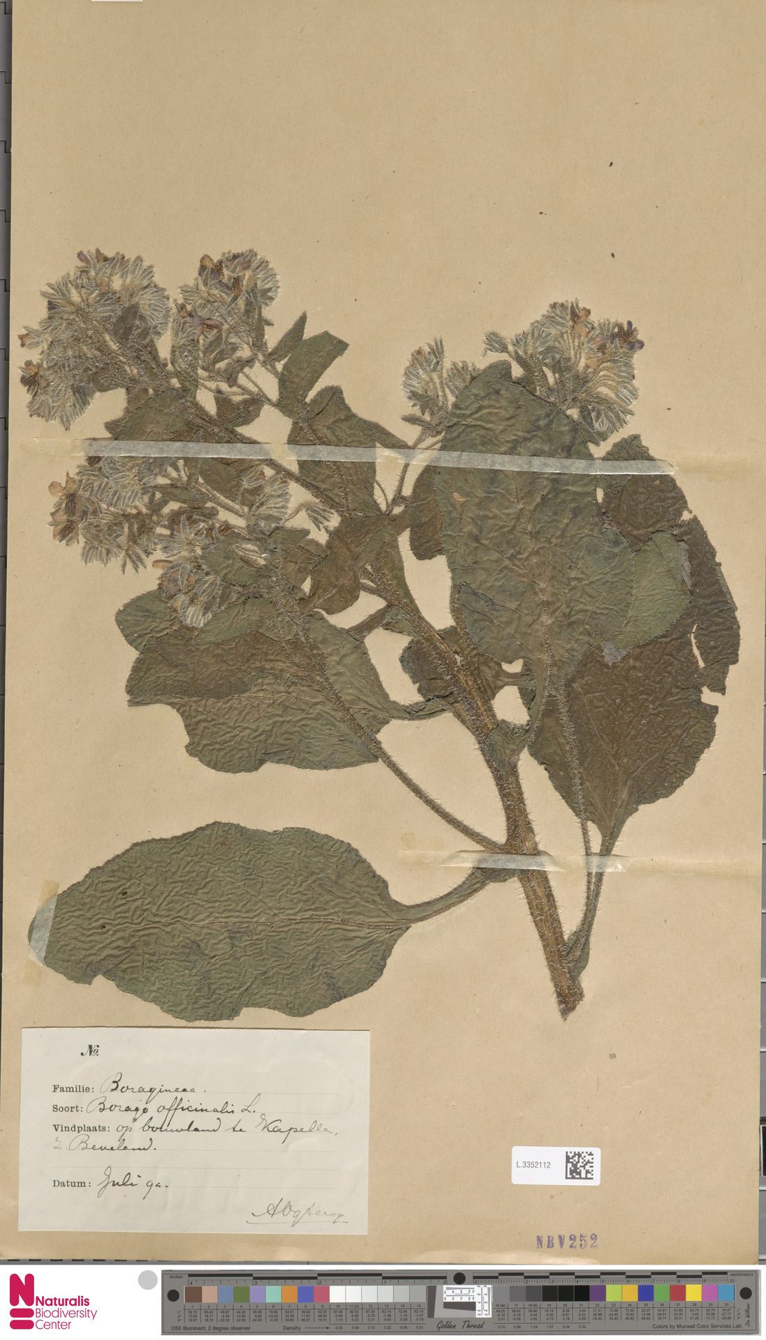 L.3352112   Borago officinalis L.