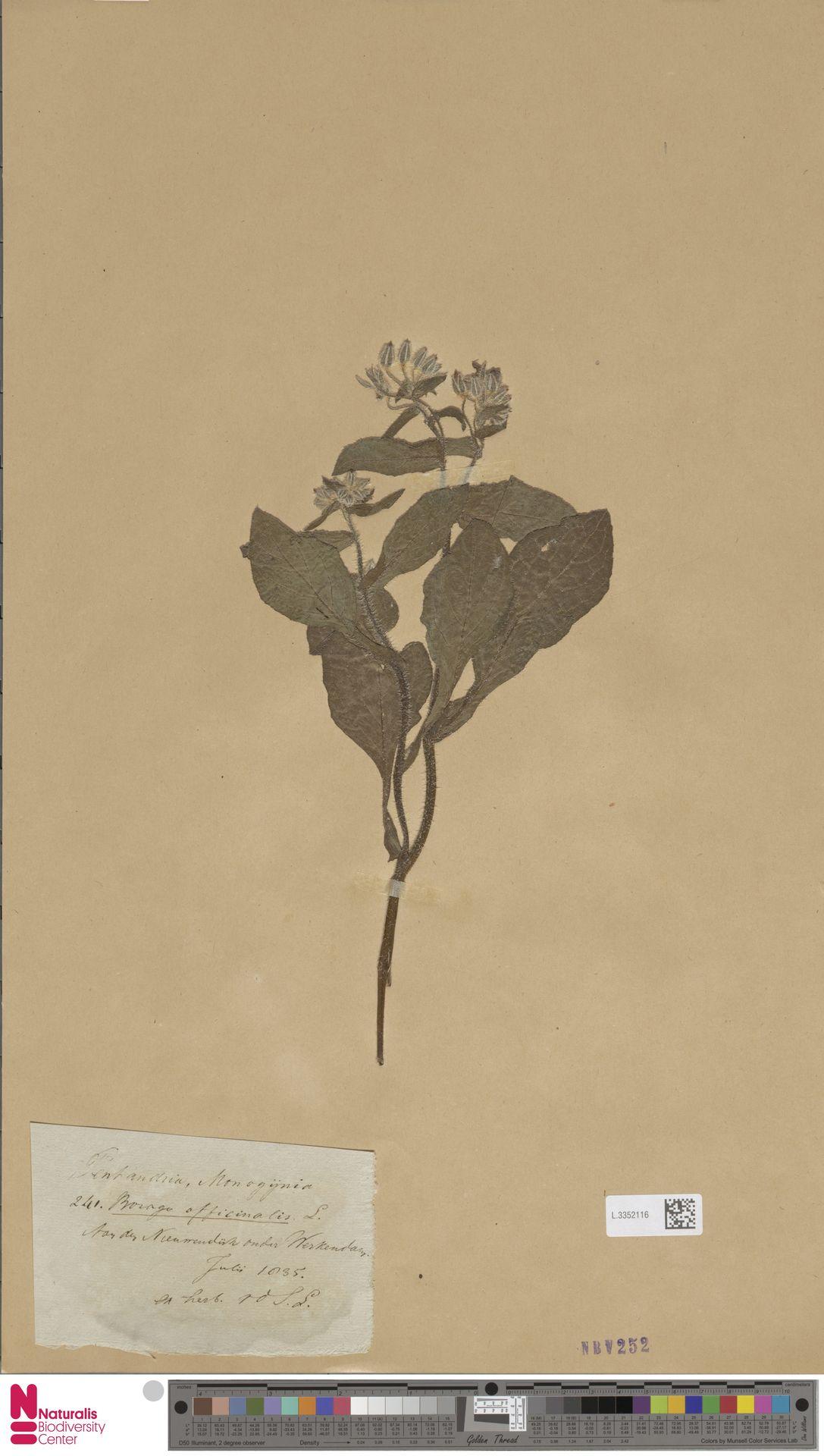 L.3352116 | Borago officinalis L.