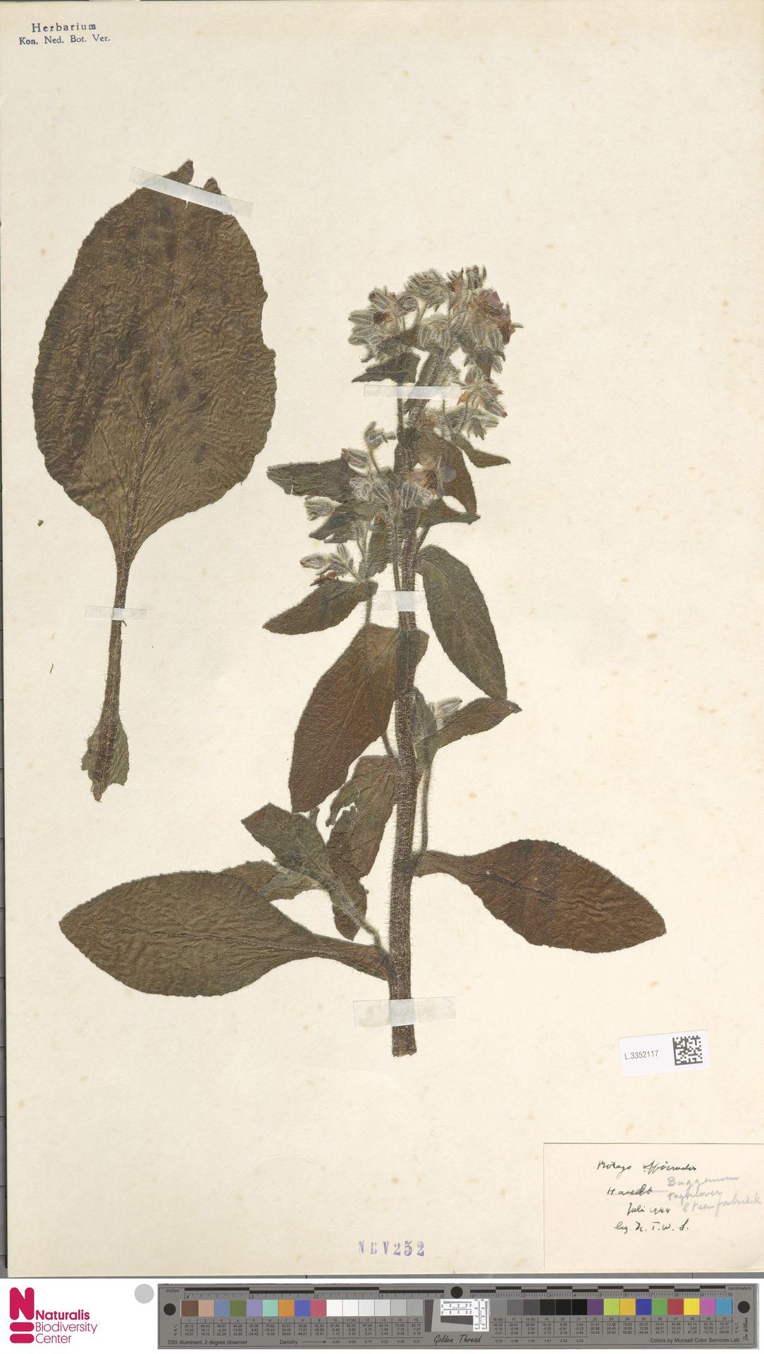 L.3352117   Borago officinalis L.
