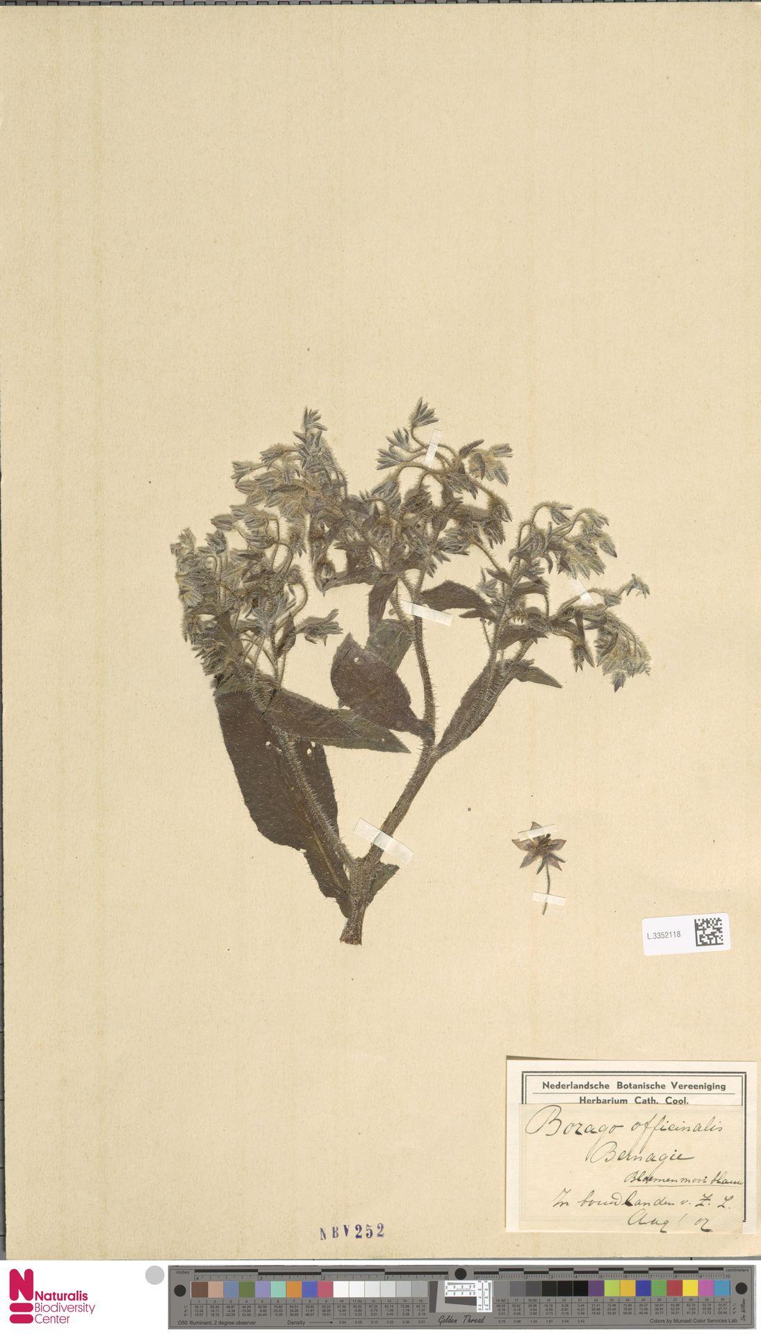 L.3352118 | Borago officinalis L.