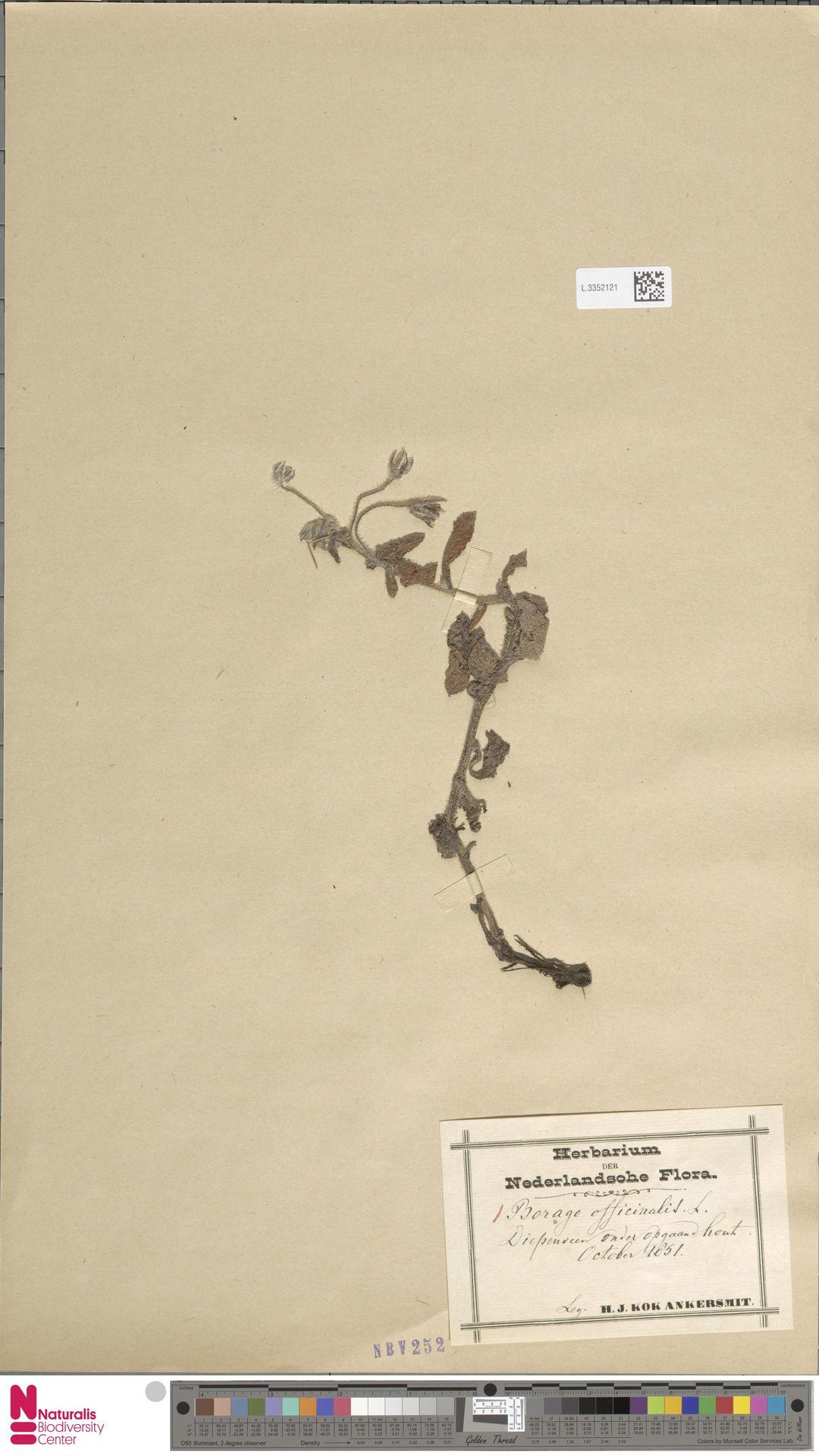 L.3352121 | Borago officinalis L.