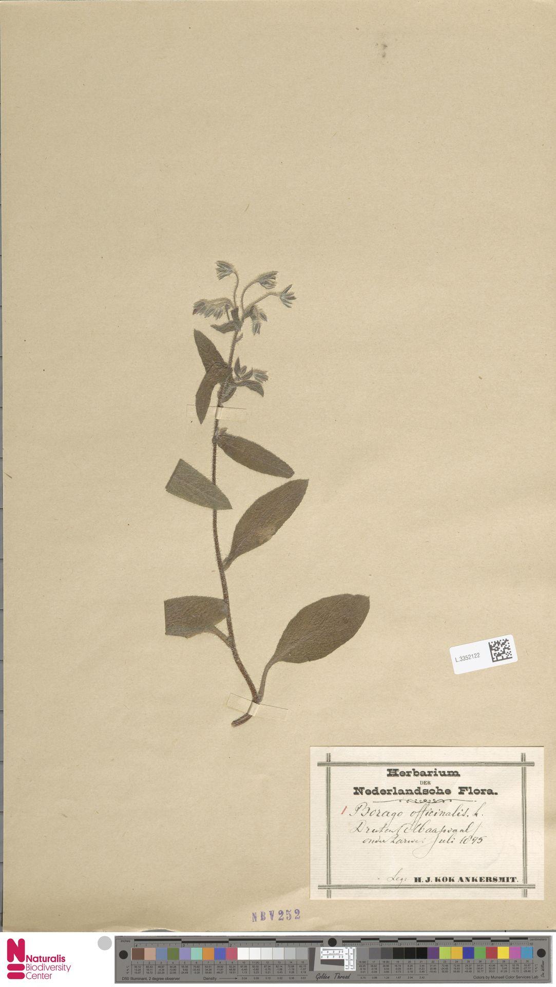 L.3352122 | Borago officinalis L.