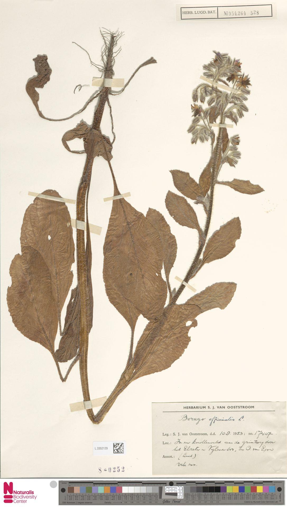 L.3352129 | Borago officinalis L.