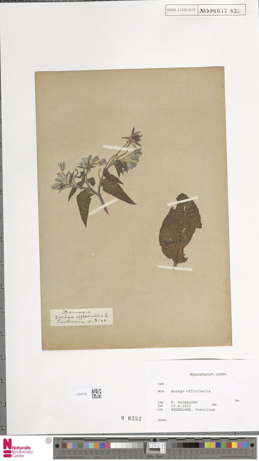 L.3352133 | Borago officinalis L.
