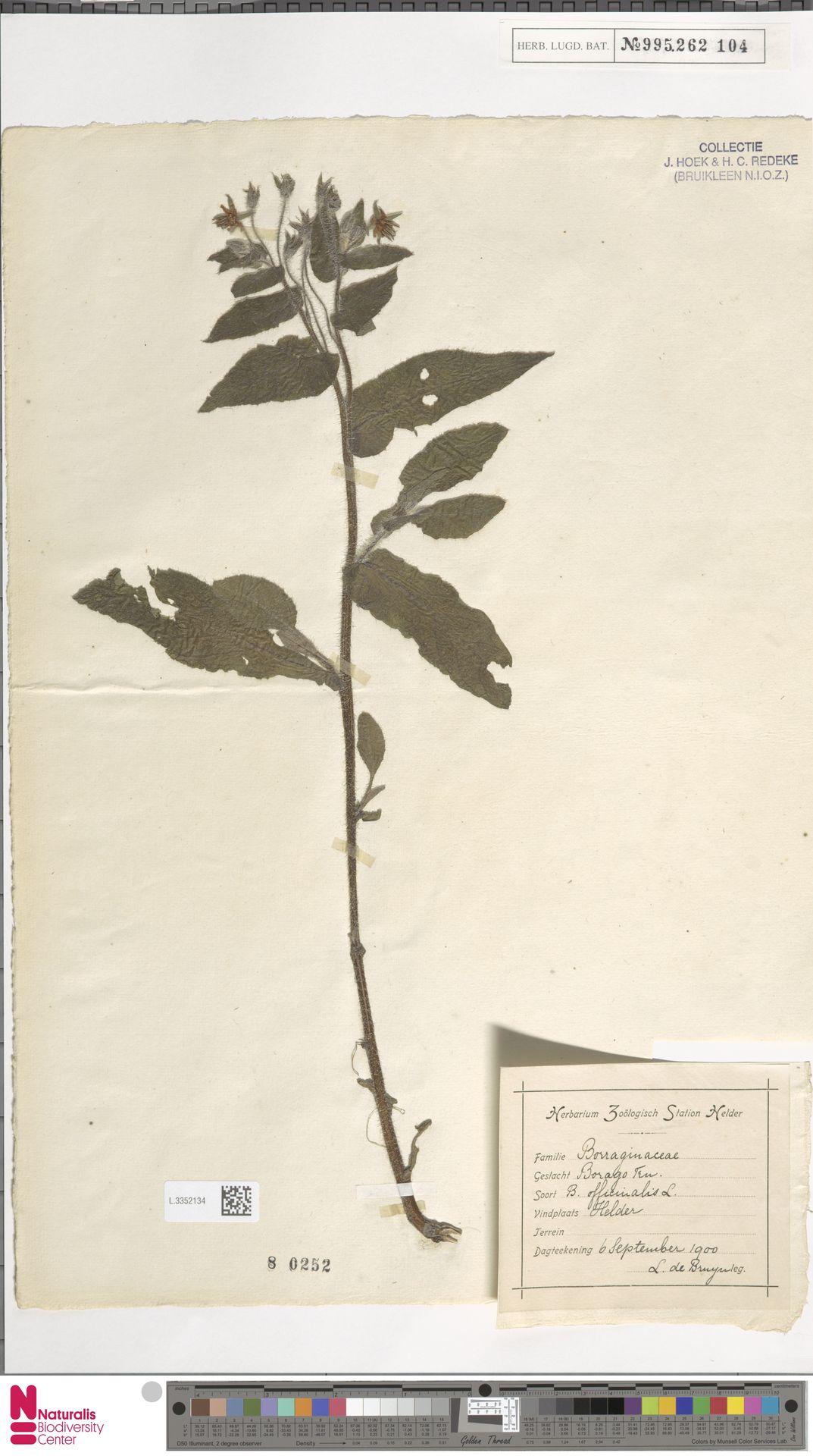 L.3352134 | Borago officinalis L.