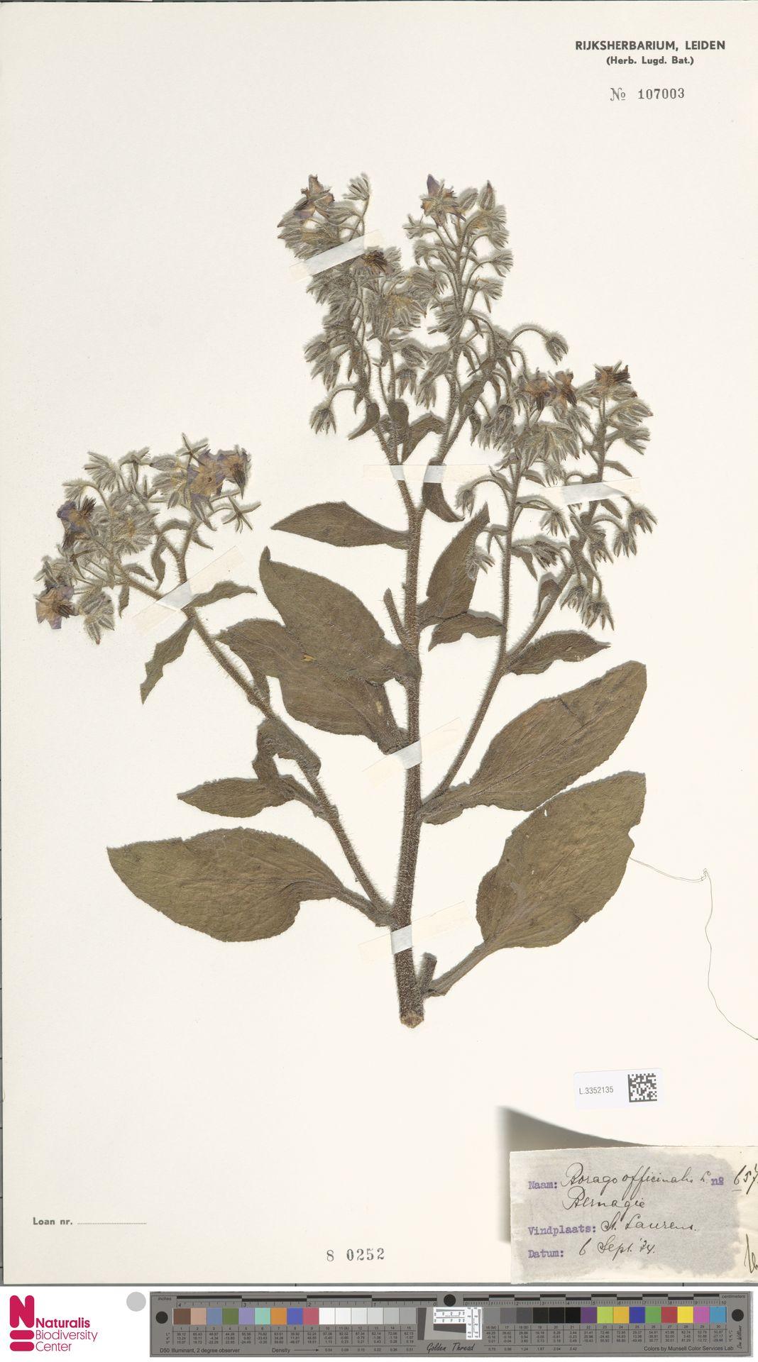 L.3352135 | Borago officinalis L.