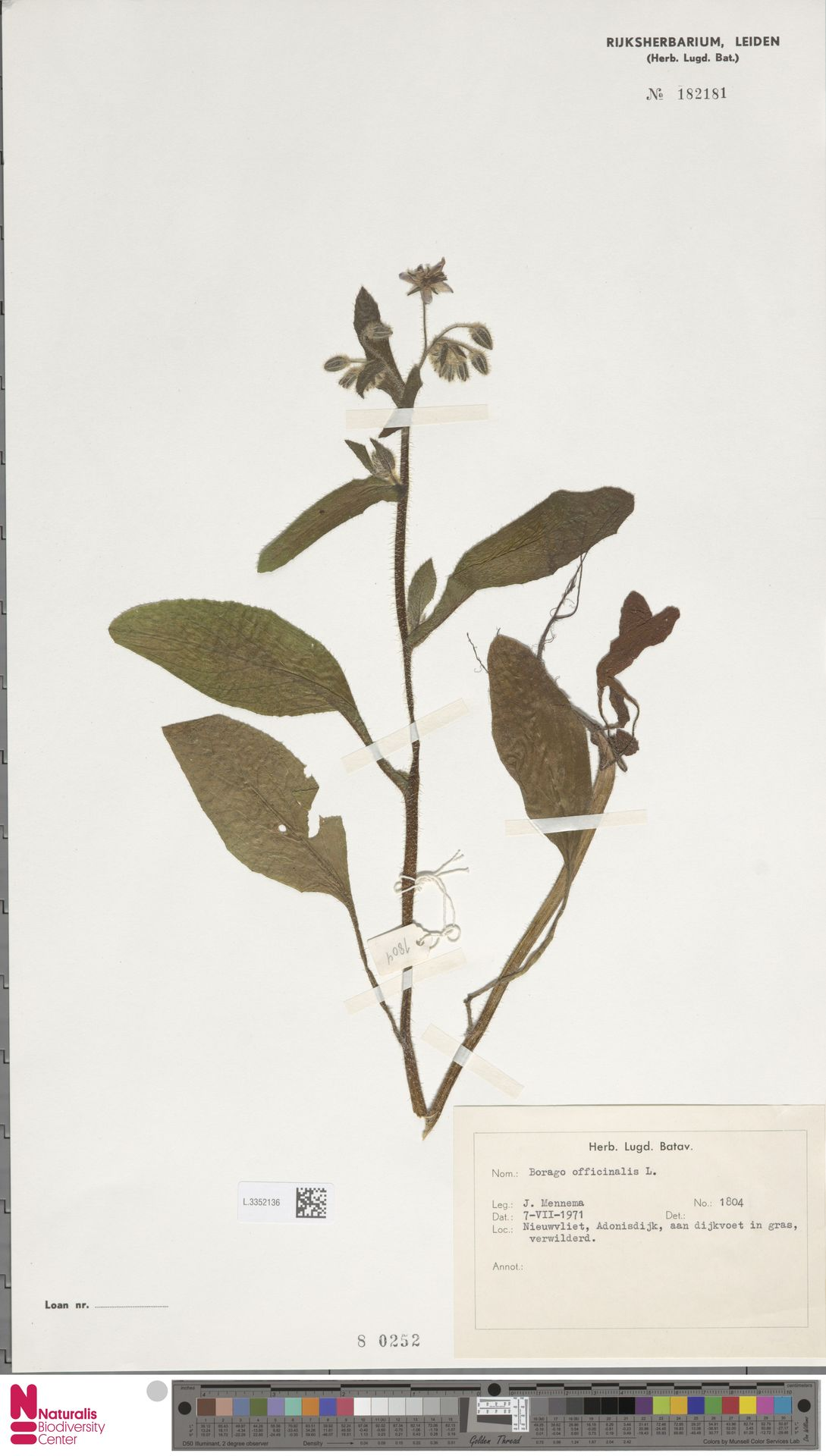 L.3352136   Borago officinalis L.