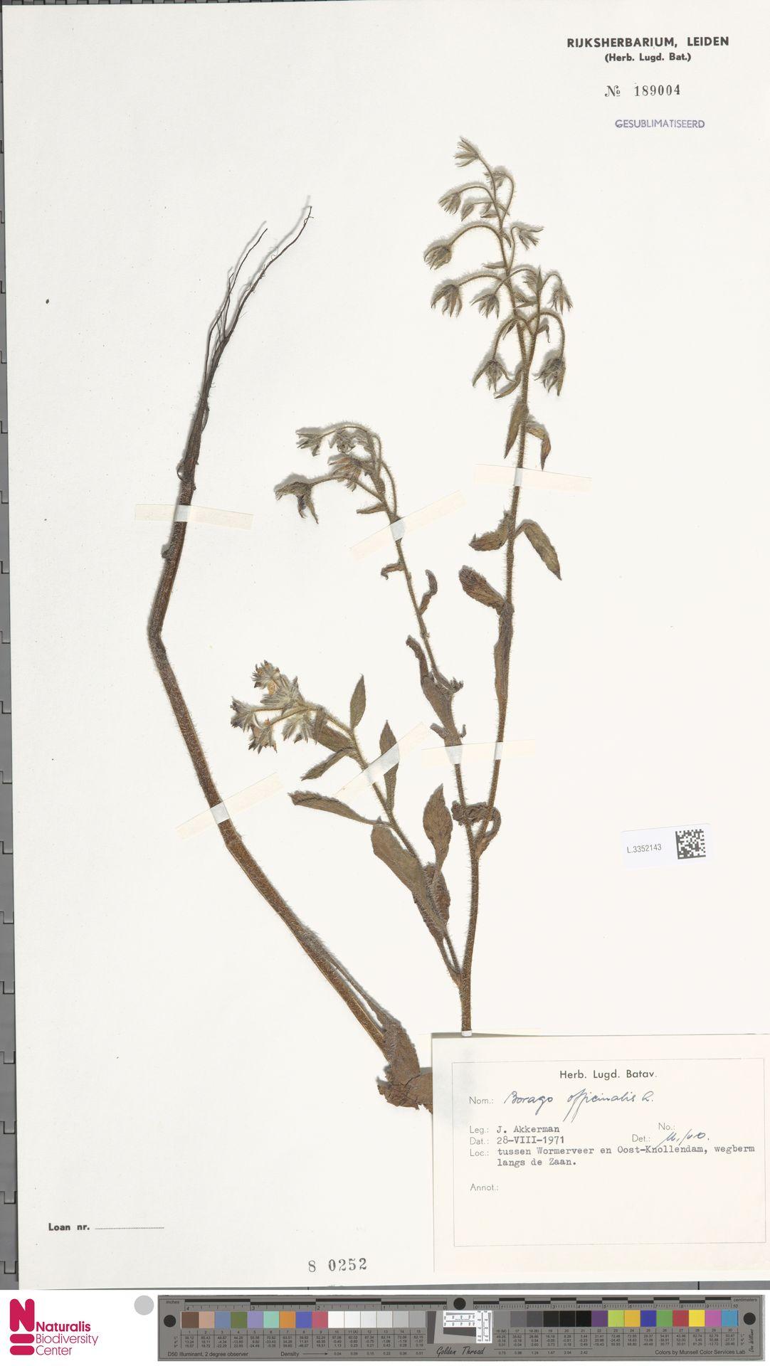 L.3352143 | Borago officinalis L.