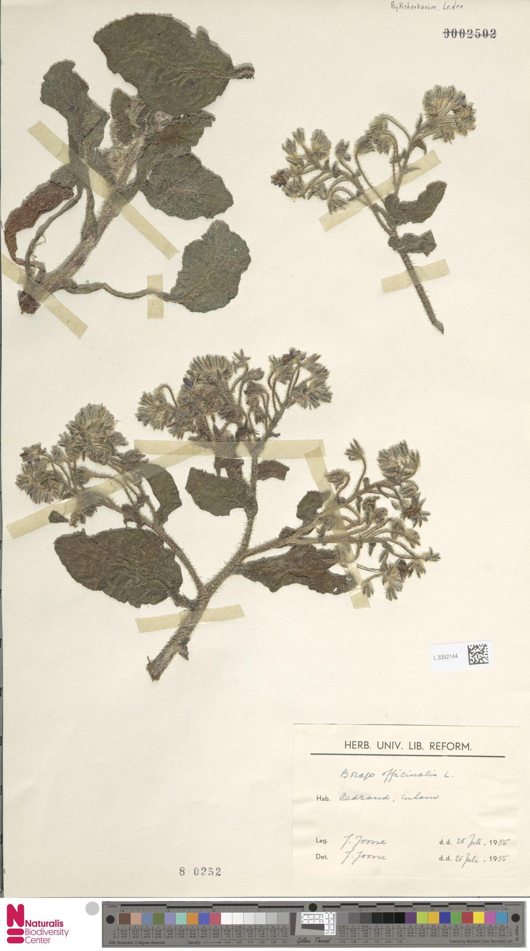 L.3352144 | Borago officinalis L.