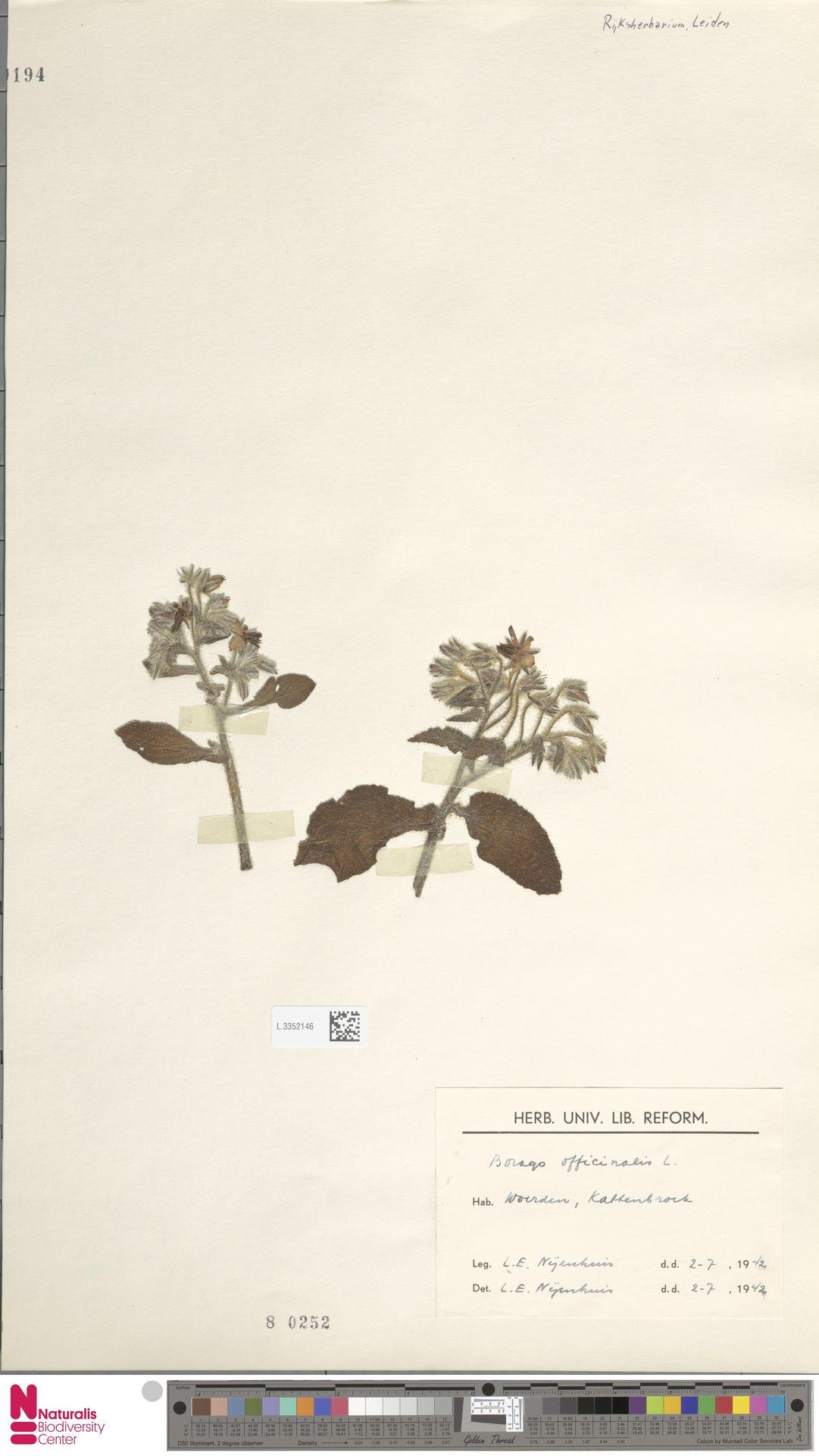 L.3352146 | Borago officinalis L.