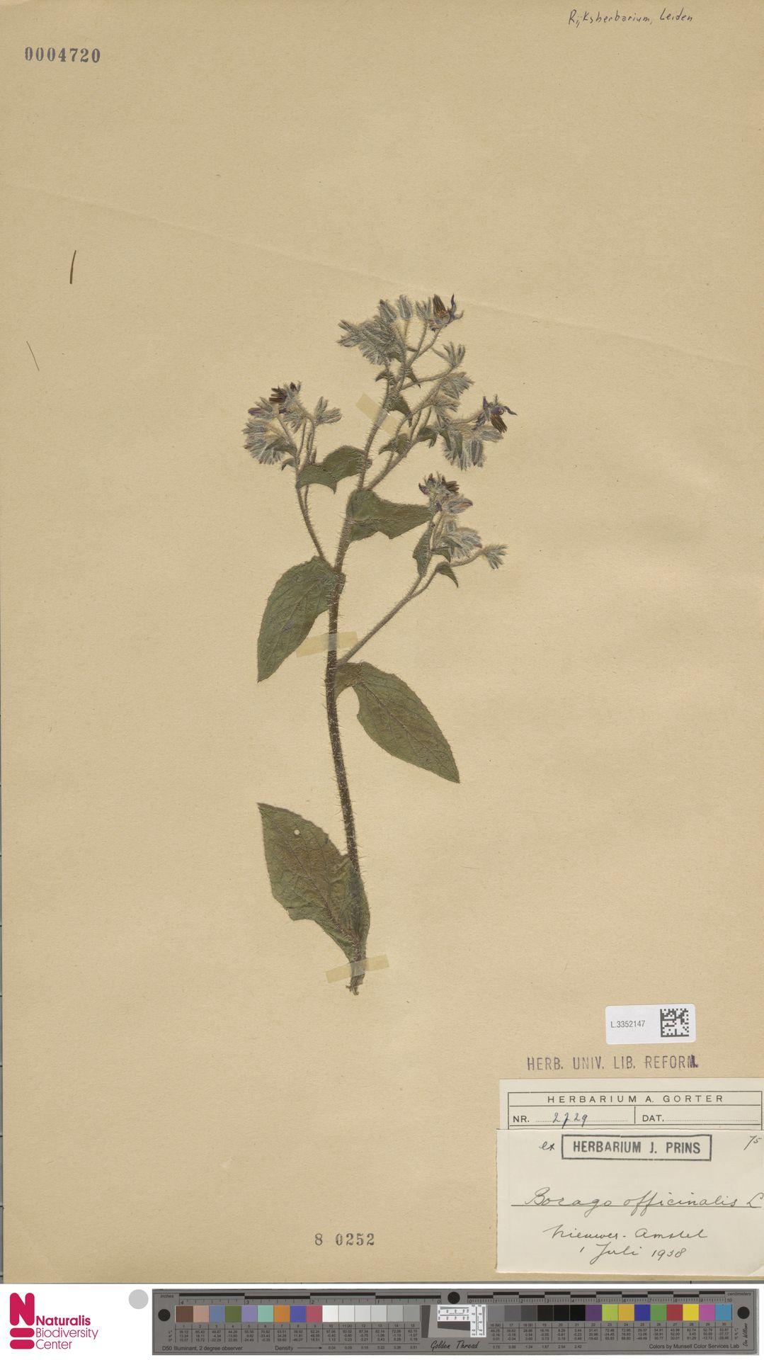 L.3352147   Borago officinalis L.