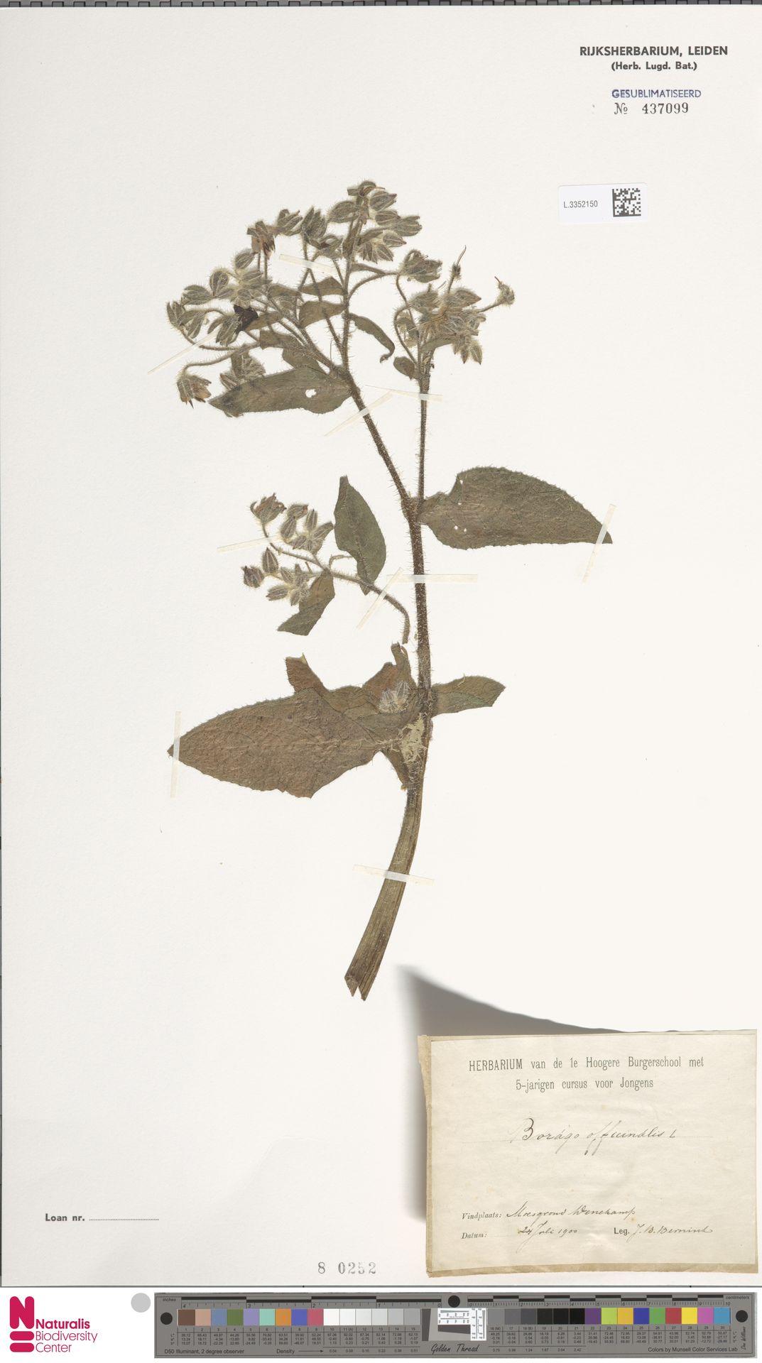 L.3352150 | Borago officinalis L.