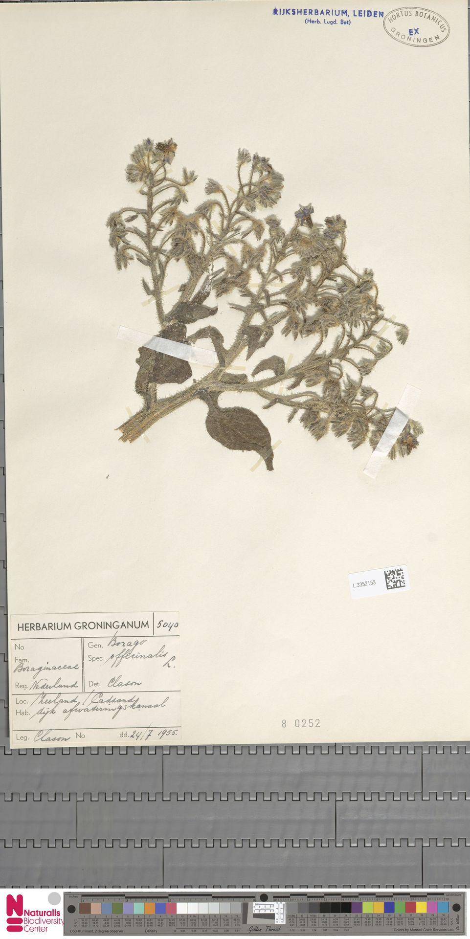 L.3352153   Borago officinalis L.