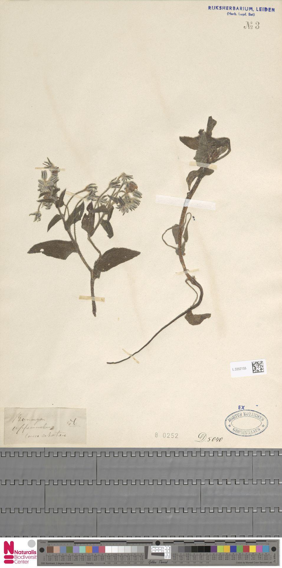 L.3352155   Borago officinalis L.