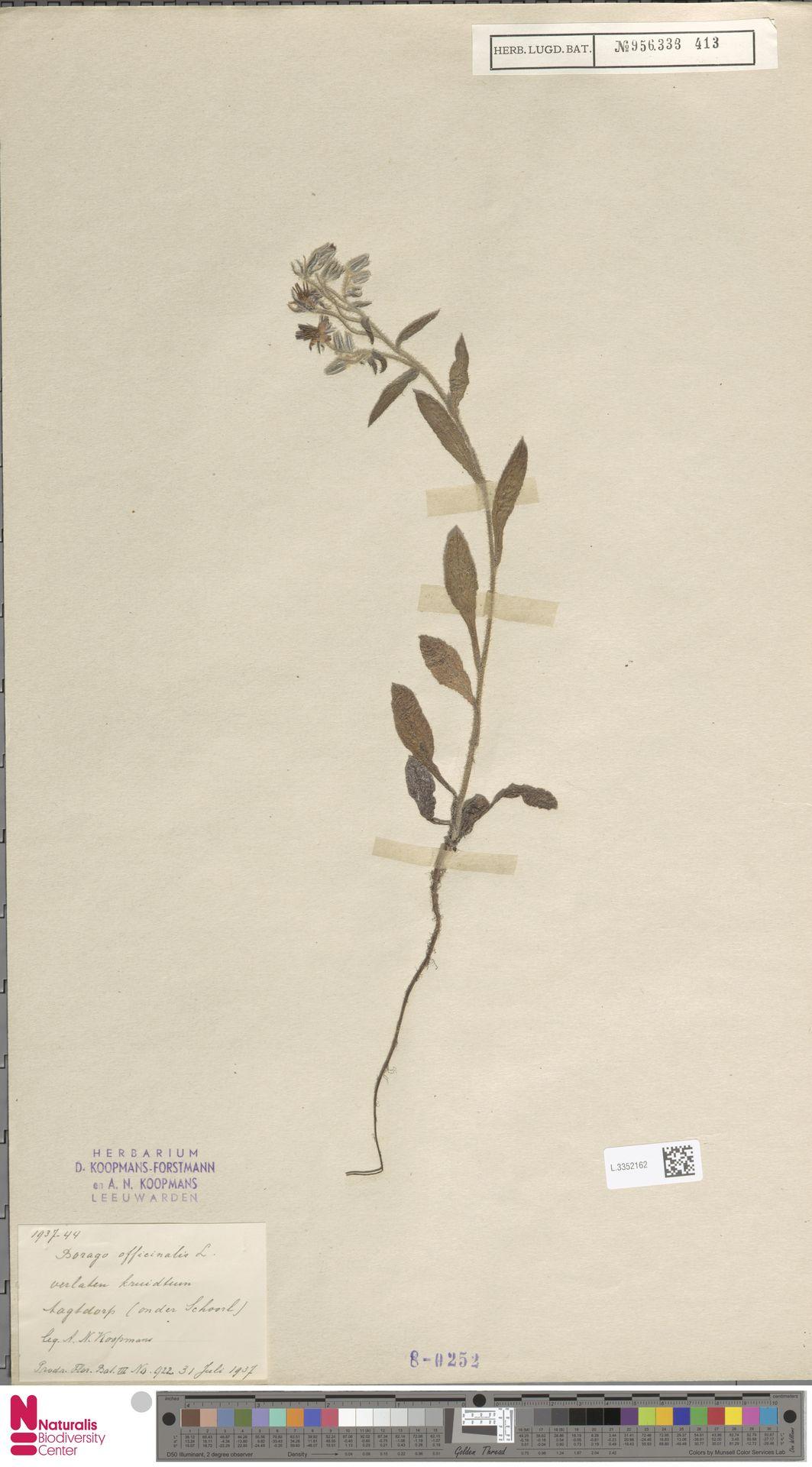 L.3352162   Borago officinalis L.