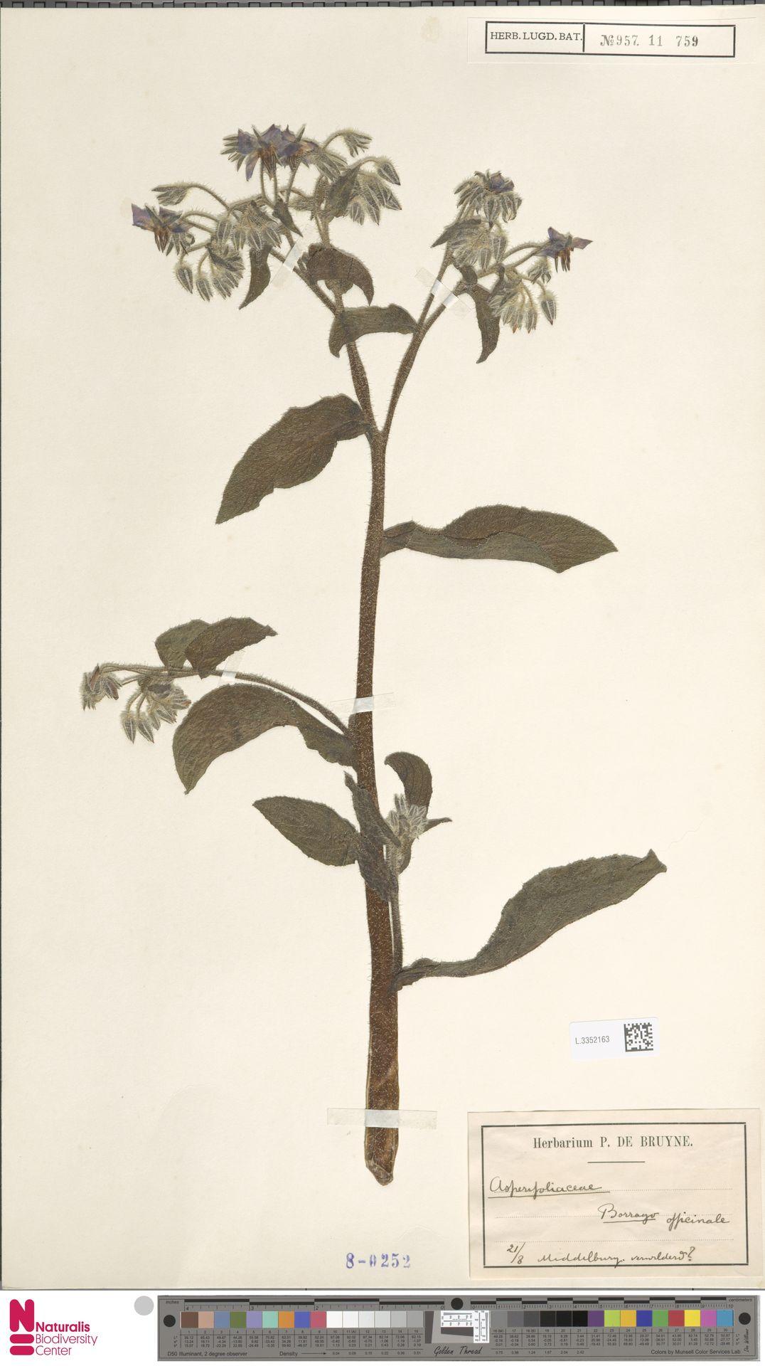 L.3352163   Borago officinalis L.