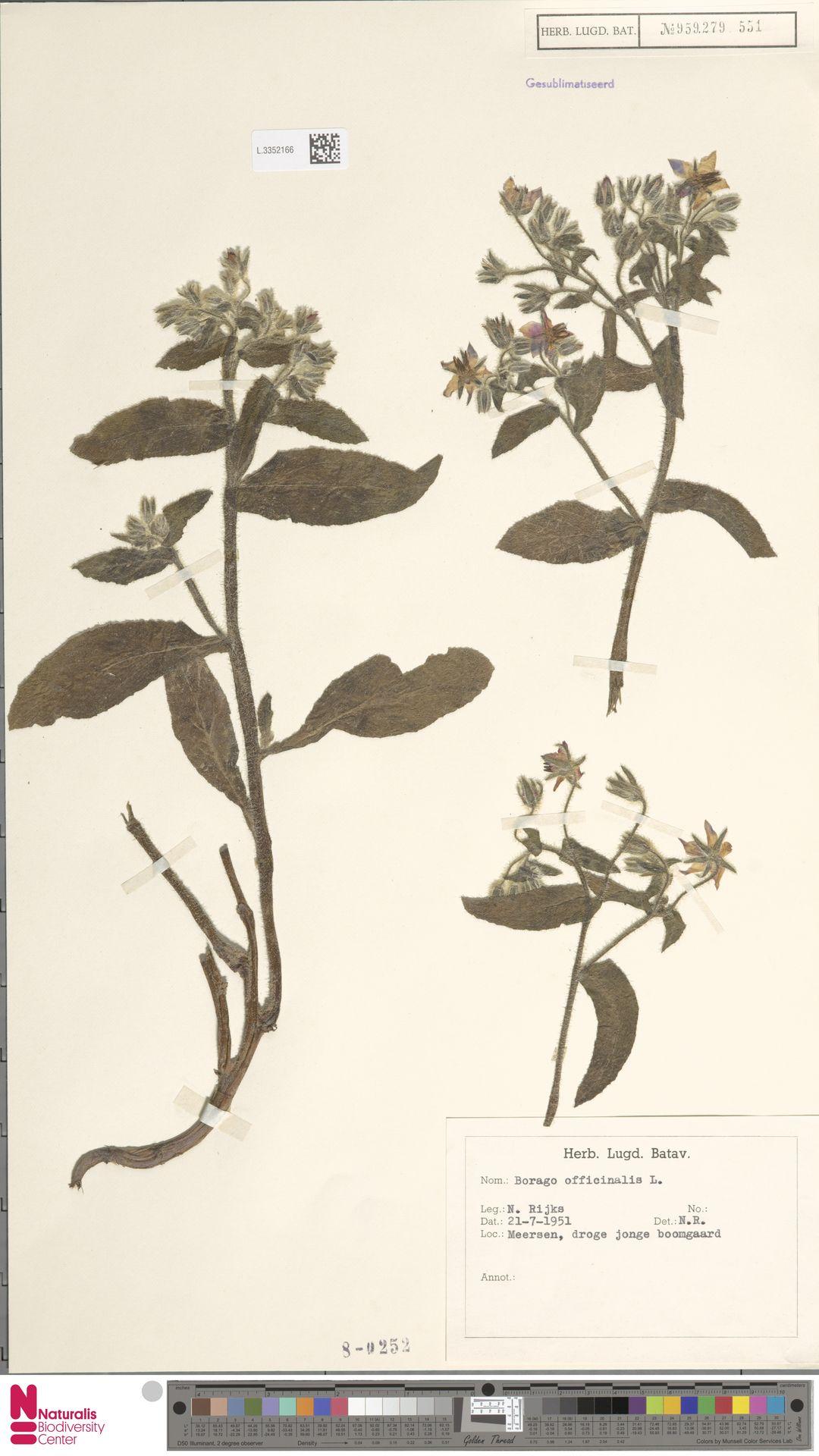 L.3352166 | Borago officinalis L.