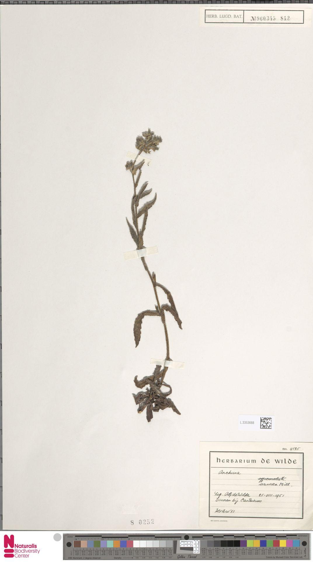 L.3353688 | Anchusa azurea Mill.
