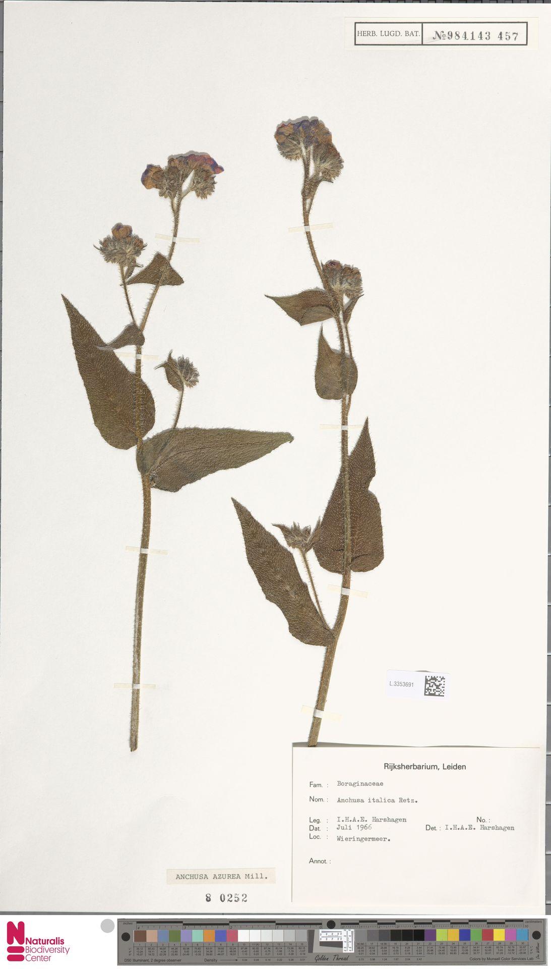 L.3353691 | Anchusa azurea Mill.
