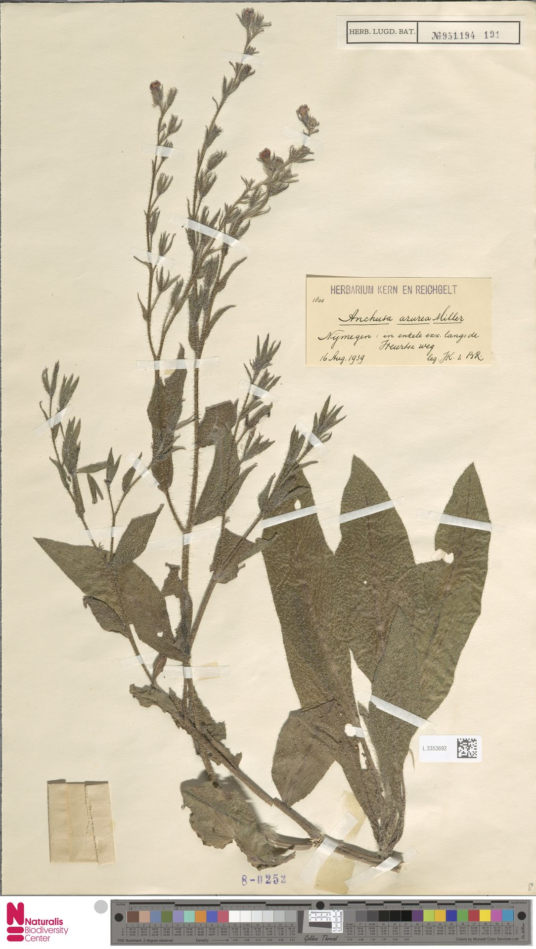 L.3353692 | Anchusa azurea Mill.