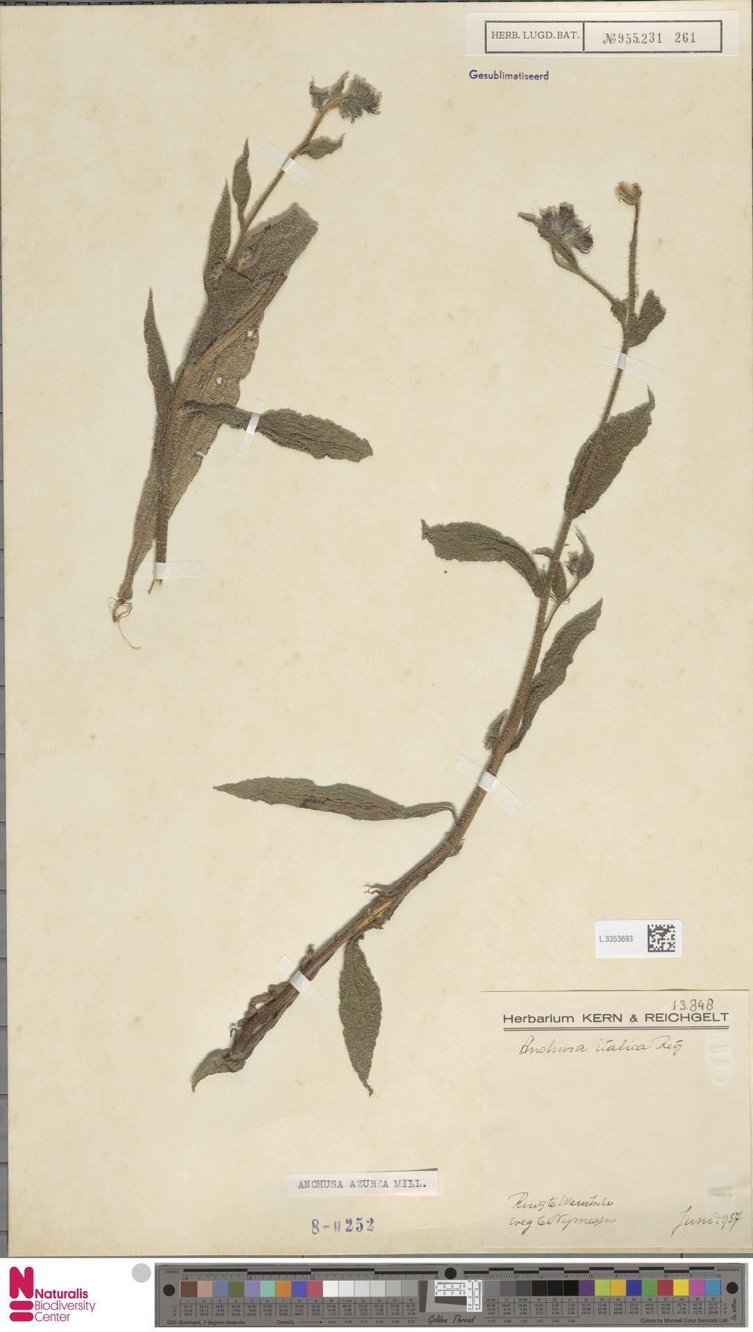 L.3353693 | Anchusa azurea Mill.
