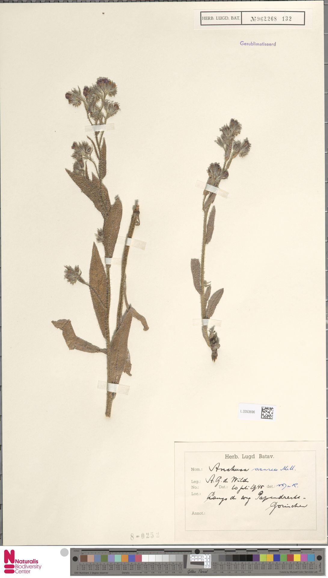 L.3353696 | Anchusa azurea Mill.