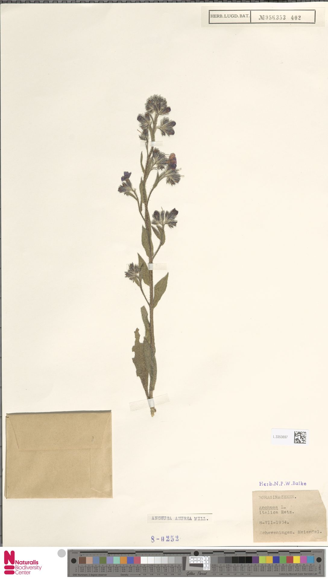 L.3353697 | Anchusa azurea Mill.