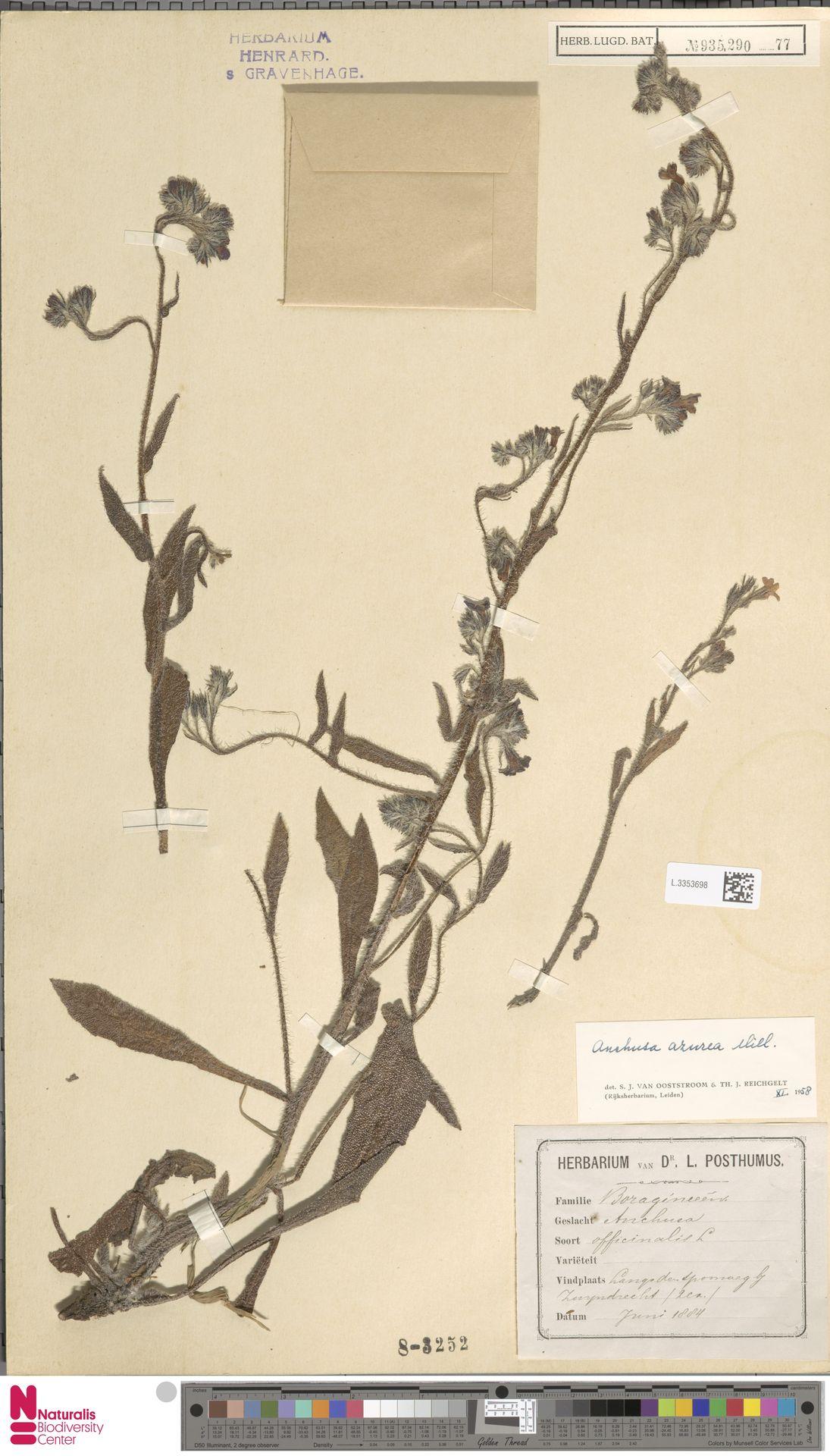L.3353698 | Anchusa azurea Mill.