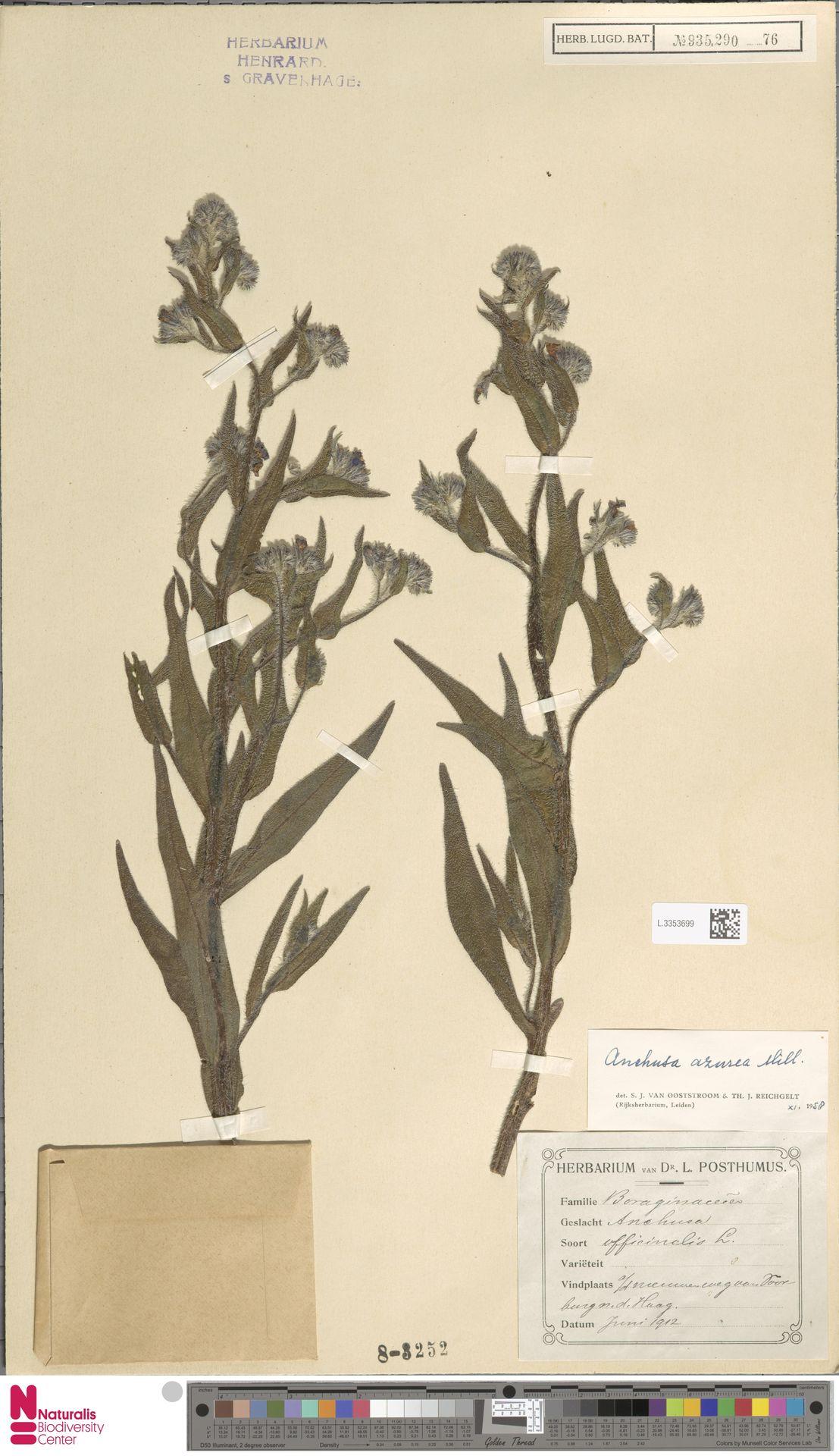 L.3353699 | Anchusa azurea Mill.