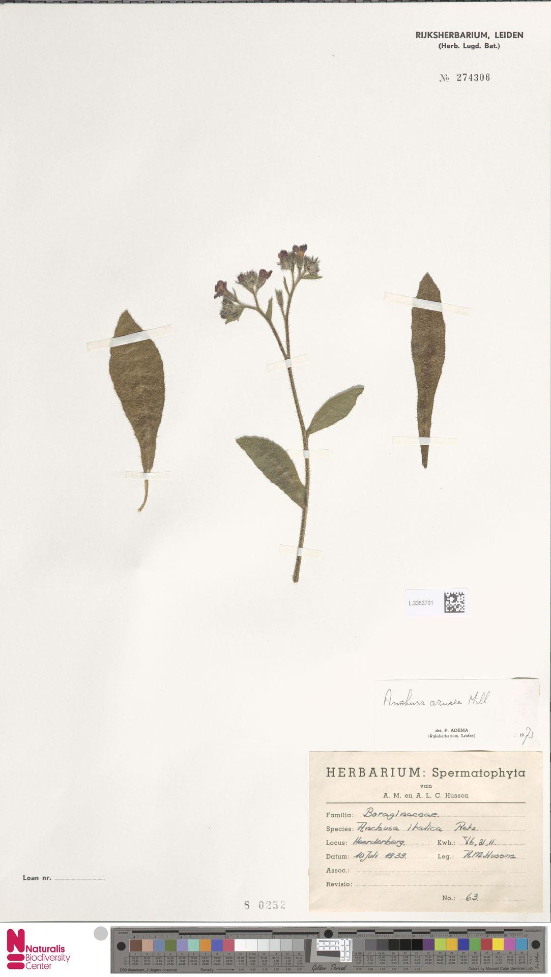 L.3353701 | Anchusa azurea Mill.