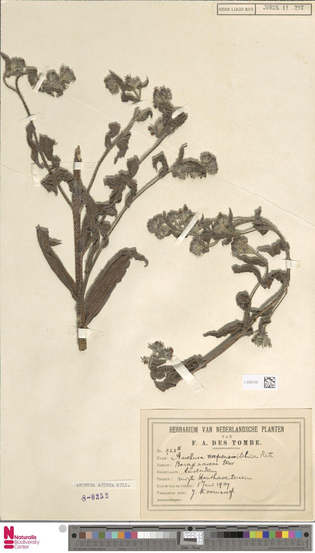 L.3353702 | Anchusa azurea Mill.