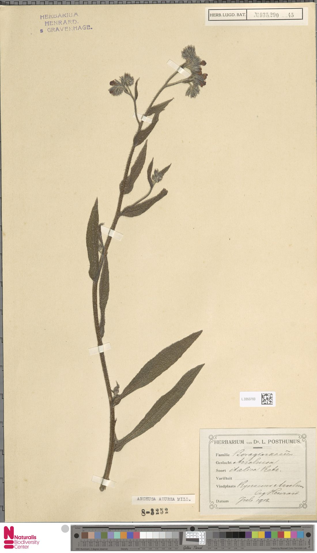 L.3353703 | Anchusa azurea Mill.