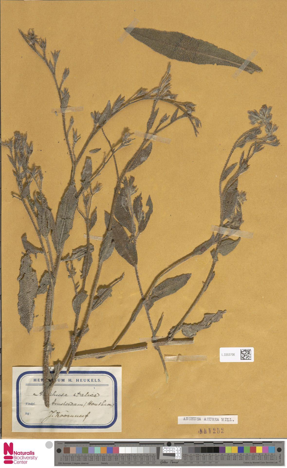 L.3353706 | Anchusa azurea Mill.